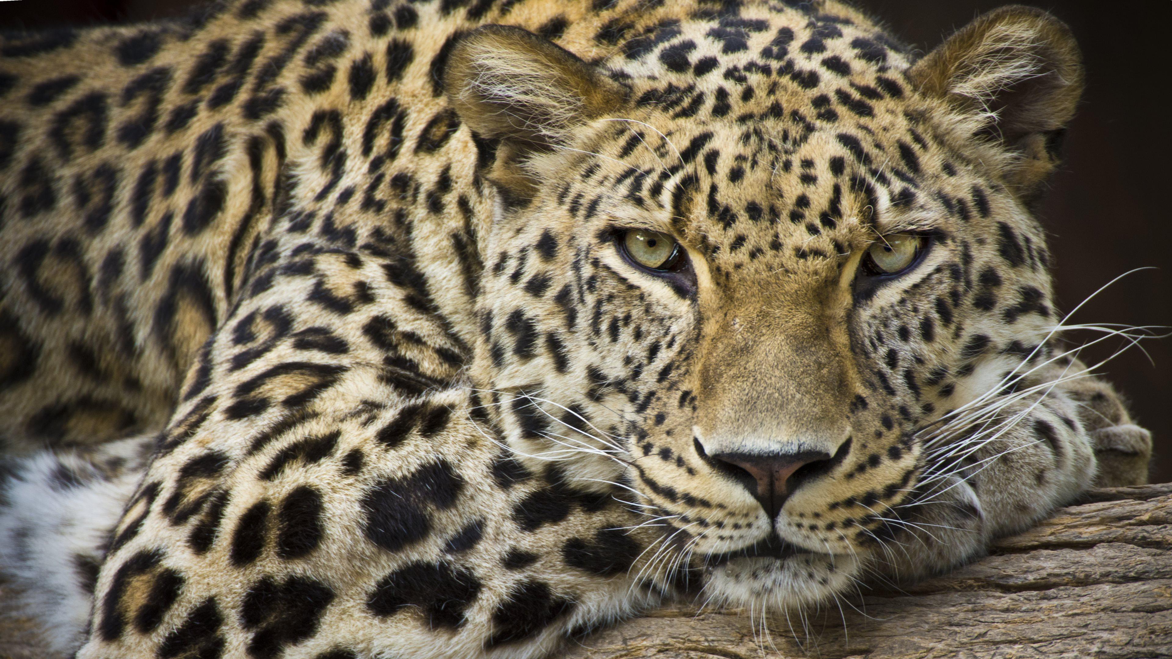 Big Cat With Spots