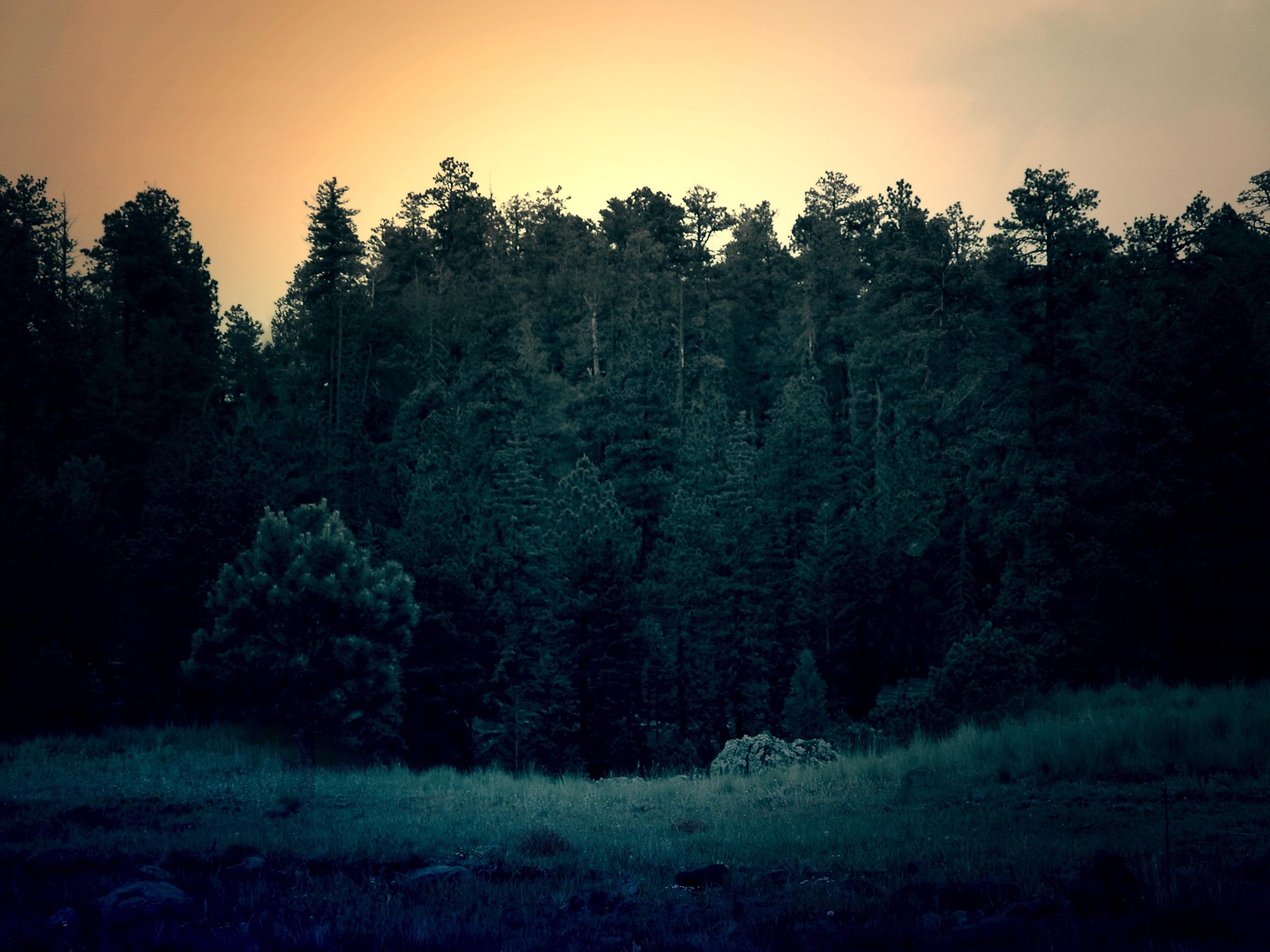 Forest, trees, sunset, dusk, forest, dense, pine