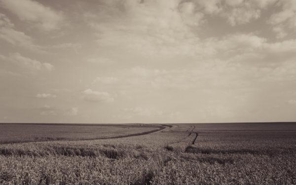 Wide, field, wheat, golden sunset, outside,