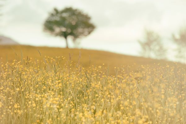 Field, spring, nature, outside, flowers, yellow, tree
