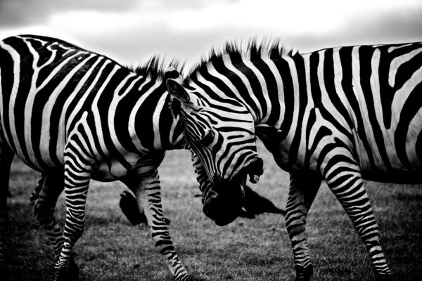 Fighting Zebras, animal, zebra, white and black, africa, stripes, nature, fight