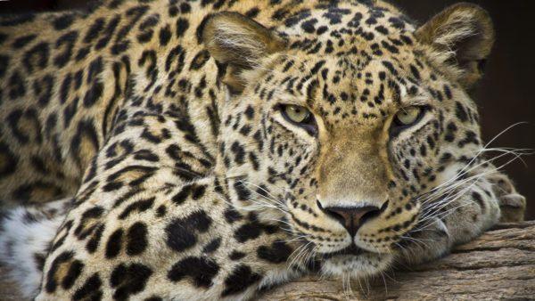 Leopard Portrait leopard, resting, cat, cheetah