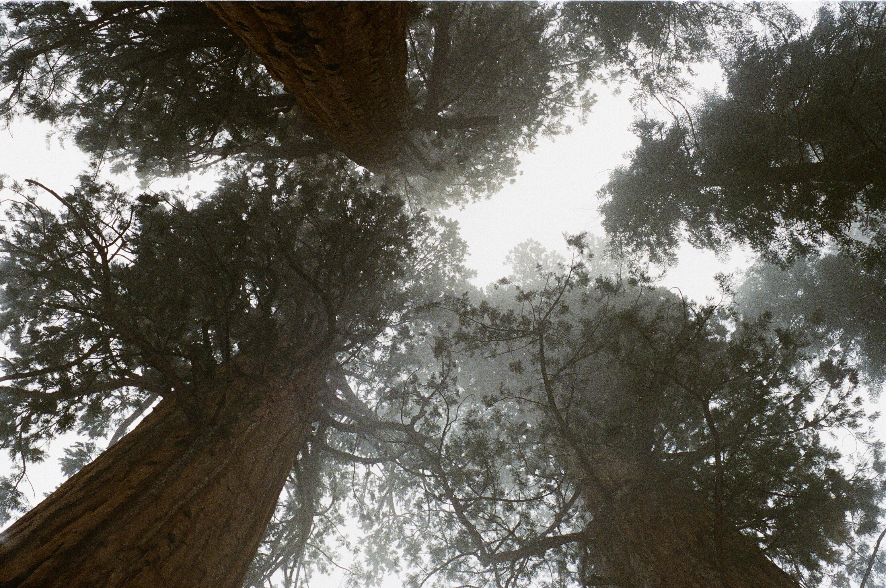 Sequoia Giants, trees, giants, pine forest, high