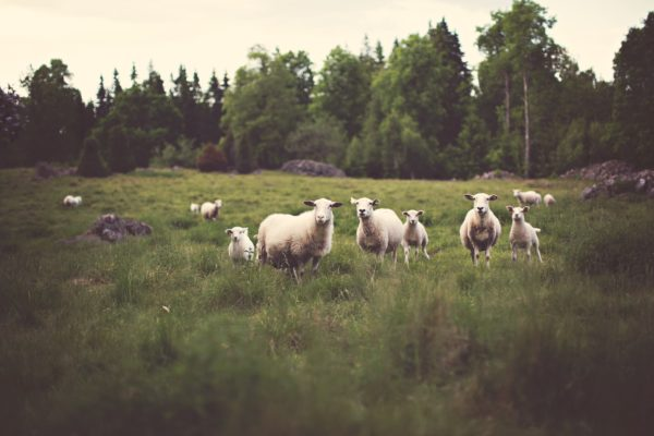 Sheep, countryside, field, pasture, grazing sheep, nature, trees, hill