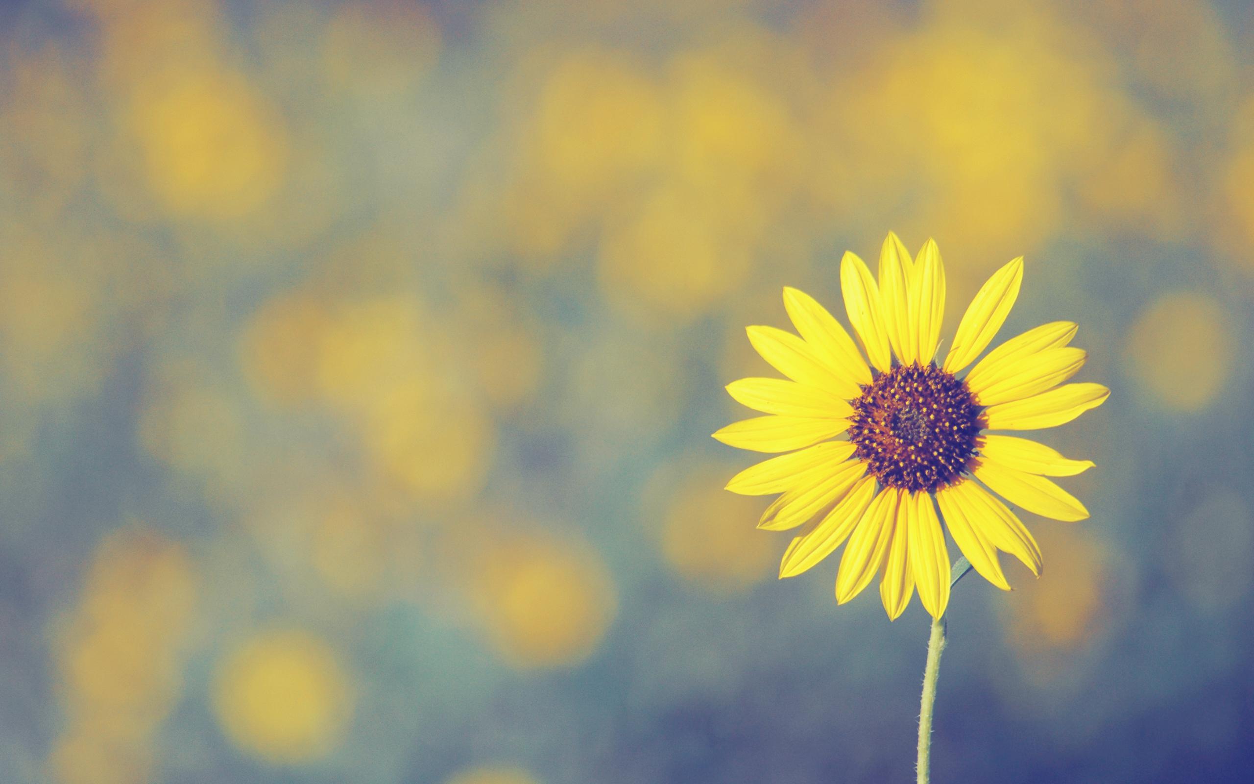 Sunflower, flower, yellow, field, focus, Petals