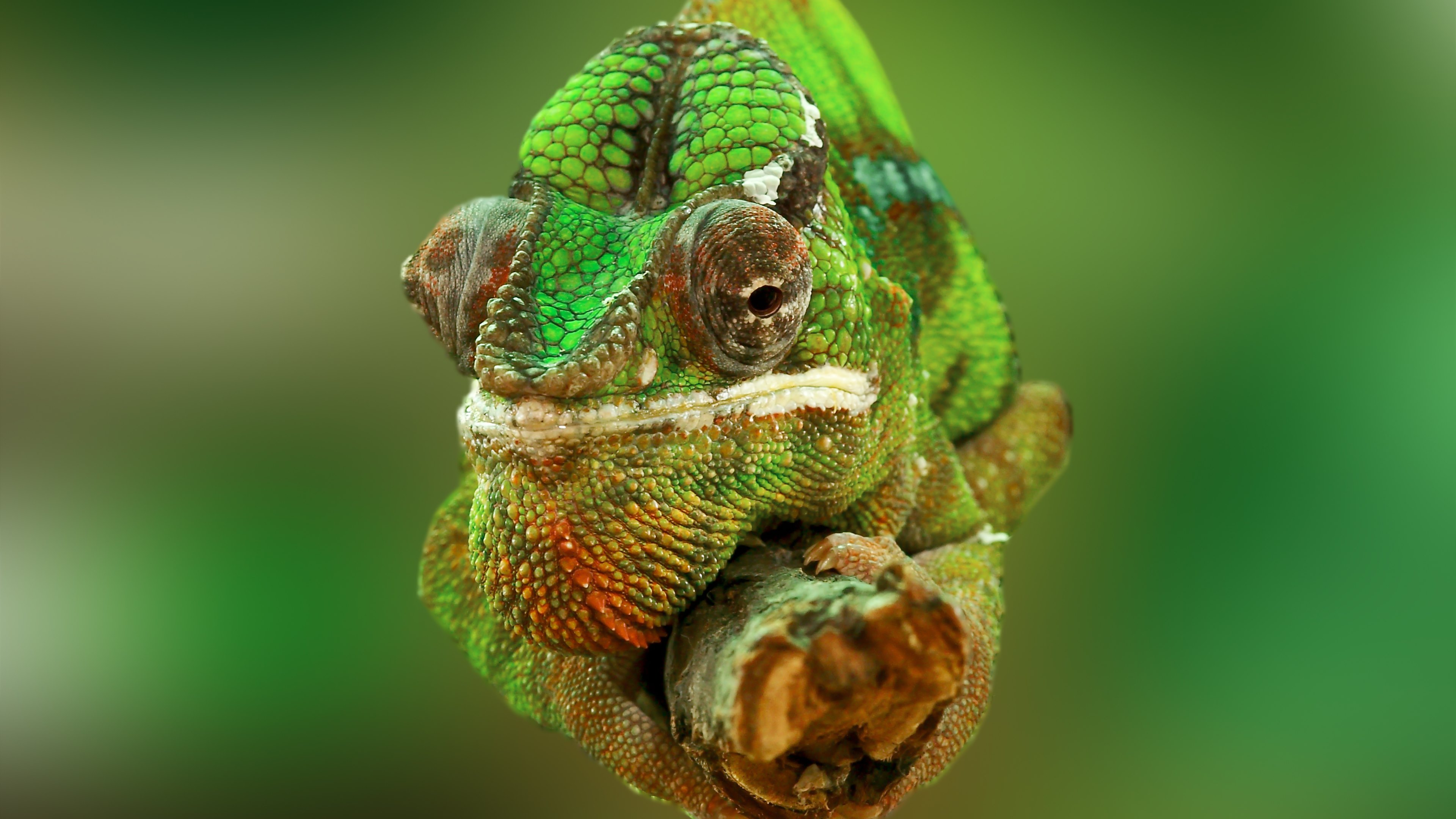 Chameleon, branch, colors, color, green, animal, lizard
