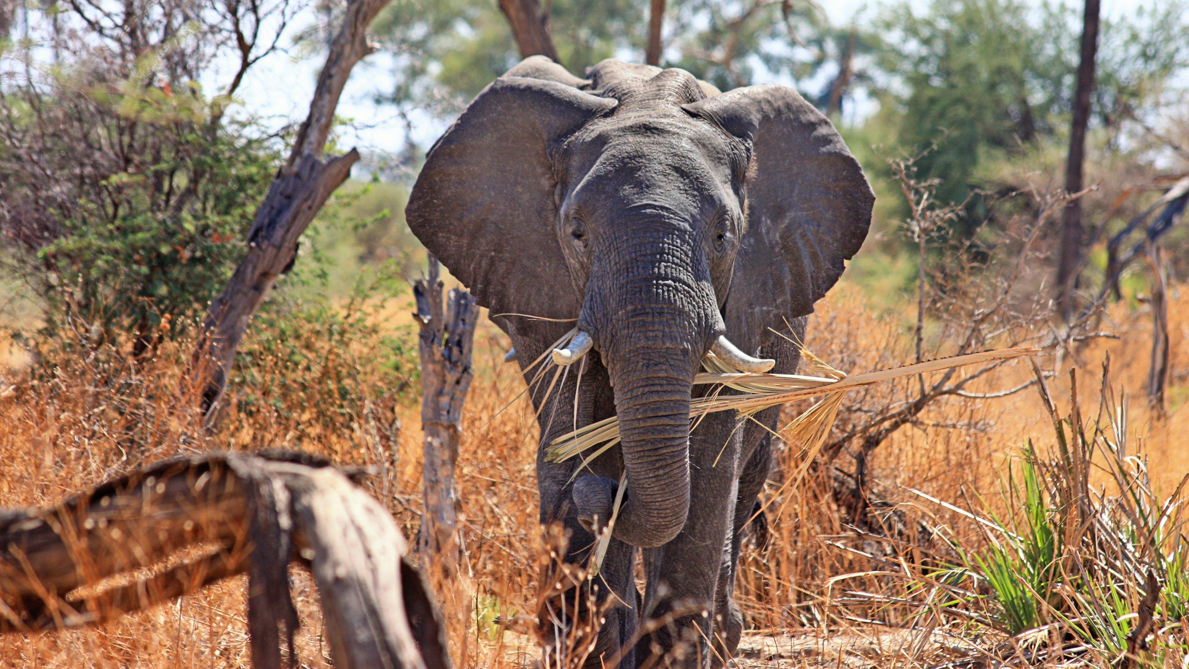 Elephant, african, safari, animal, elephant, African savanna, strength