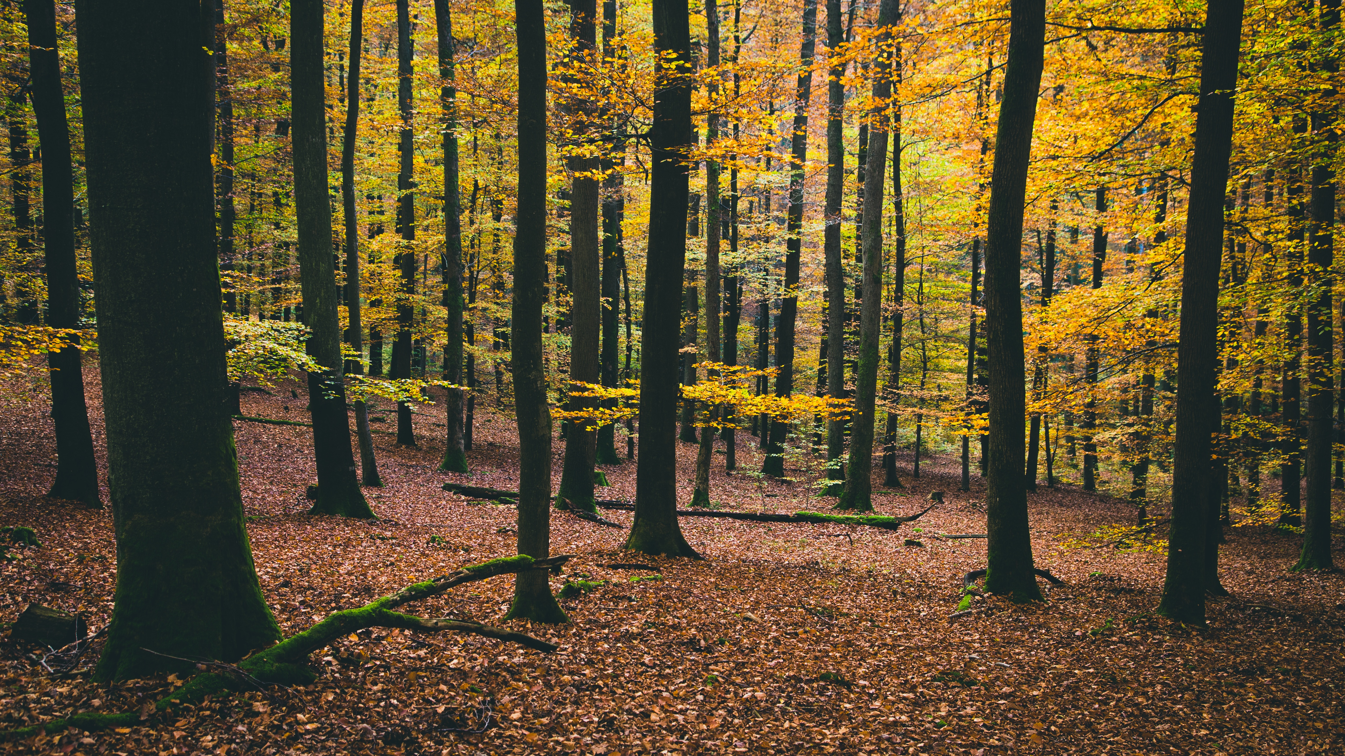 Forest, autumn, leaves, trees, leaves, forest, hill, cold, early autumn forest in autumn