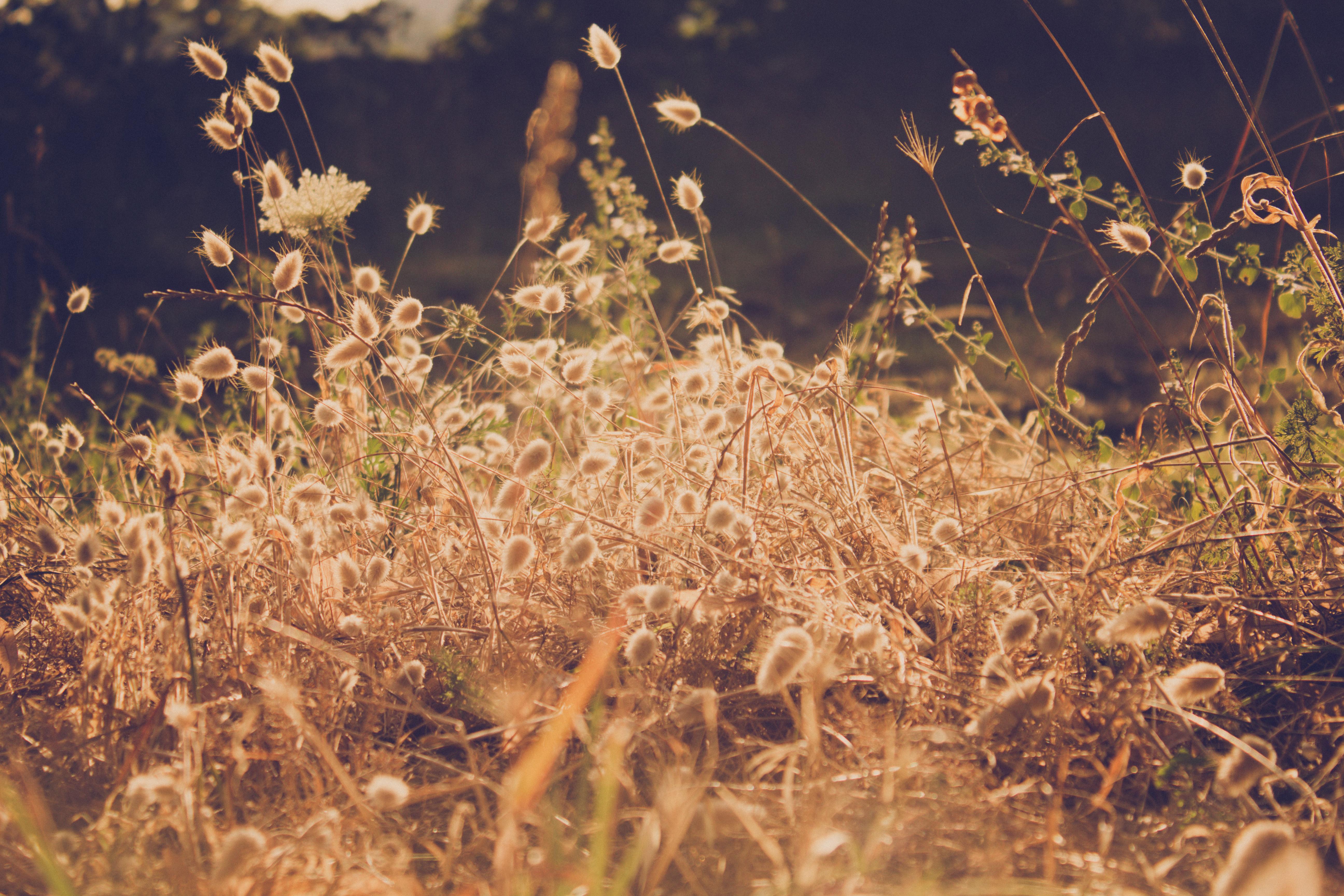 Weed gold, vegetation, plant, weed, sunset