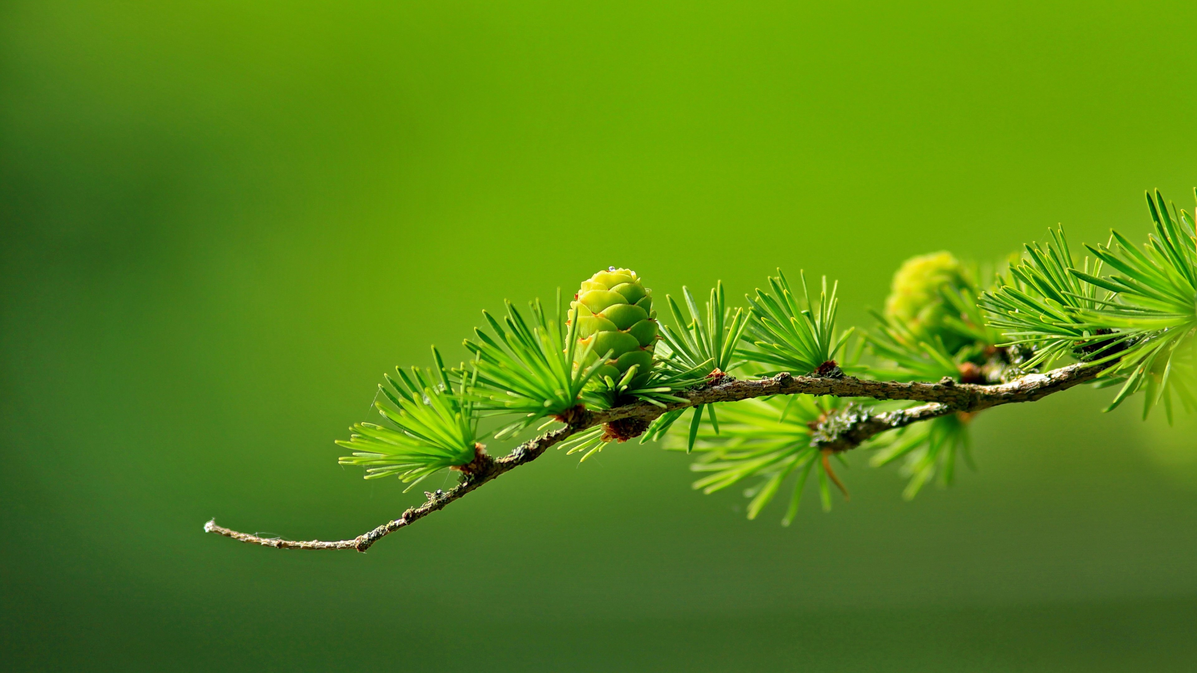 Conifer, tree, green, vegetation, plants, pine cones, green cones