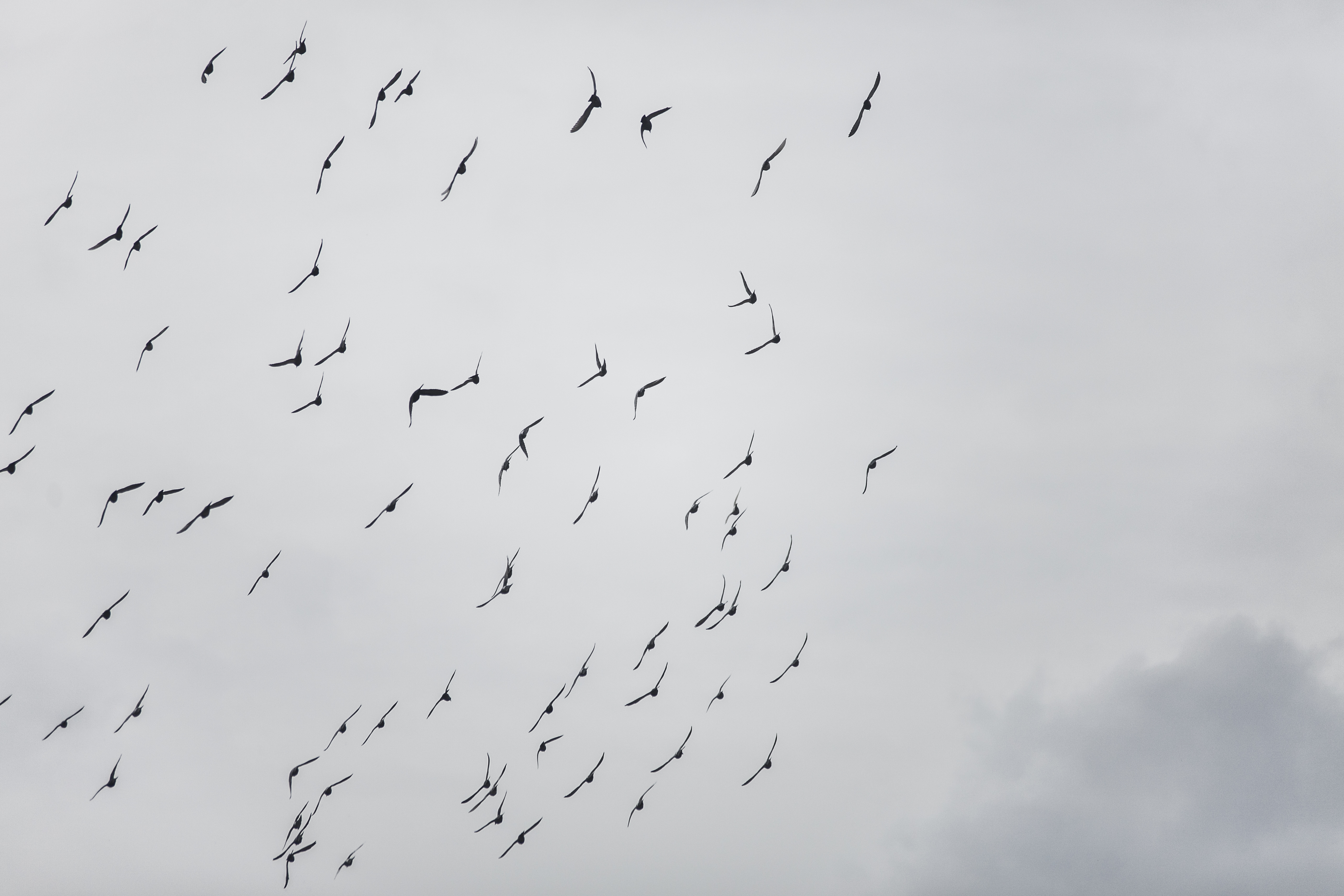 Flock Of Doves, bird, birds, flock, gray, cloudy sky, flying, flying