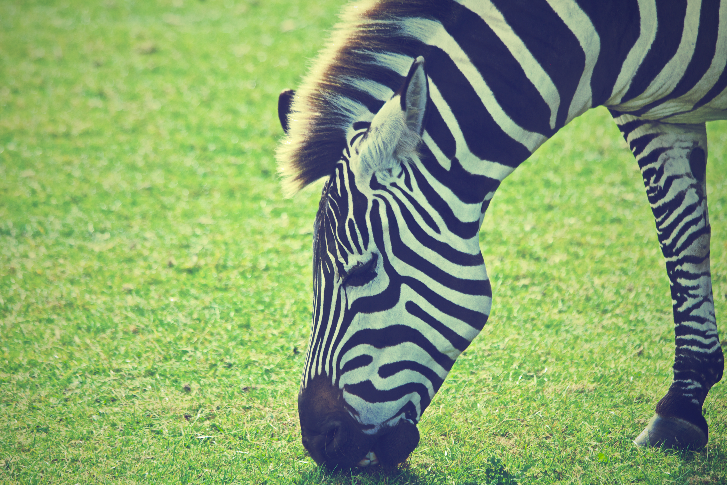 Zebra grazing, stripes, eating, white stripes, black stripes, animals, pasture