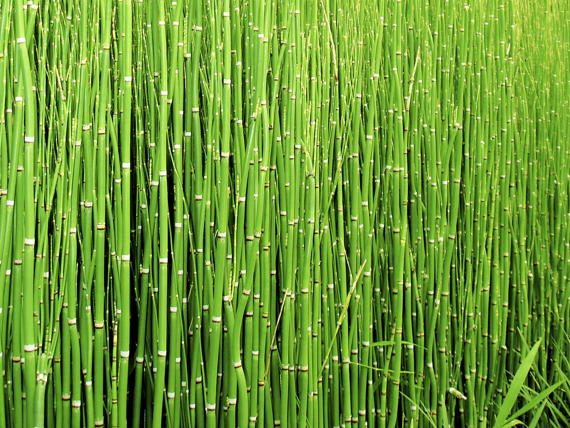 Cañas, green, nature, reeds, vegetation