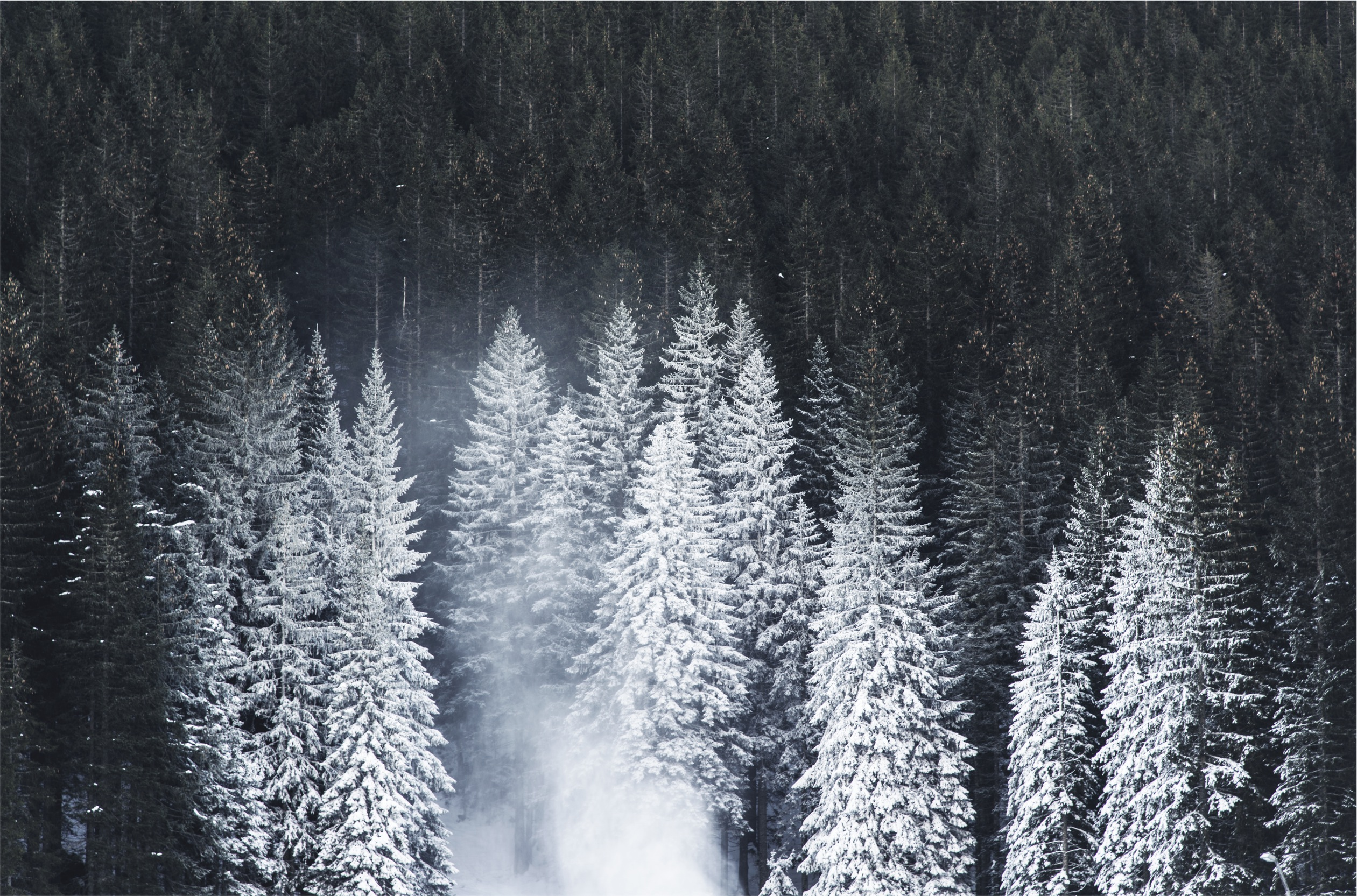 Snowy forest, forest, pine, snow covered pines, beautiful scenery, cold, snow