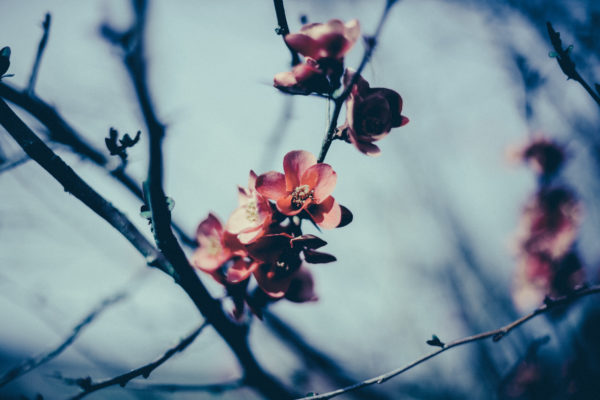 First spring flowers, flowers, blossoms, branches, nature, pink, spring, branches