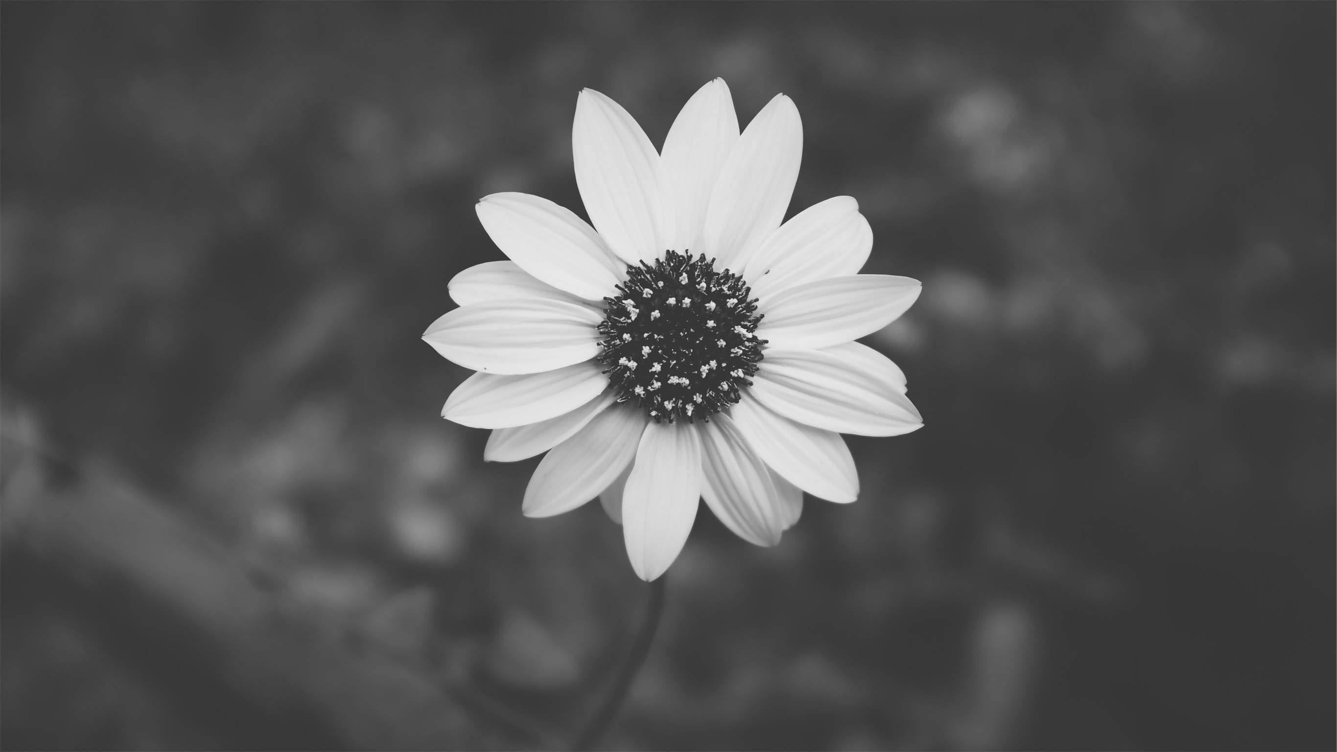 Flower Black And White By Kien Do