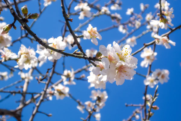 Flowers tree, branches, tree, white flowers, blue sky, spring