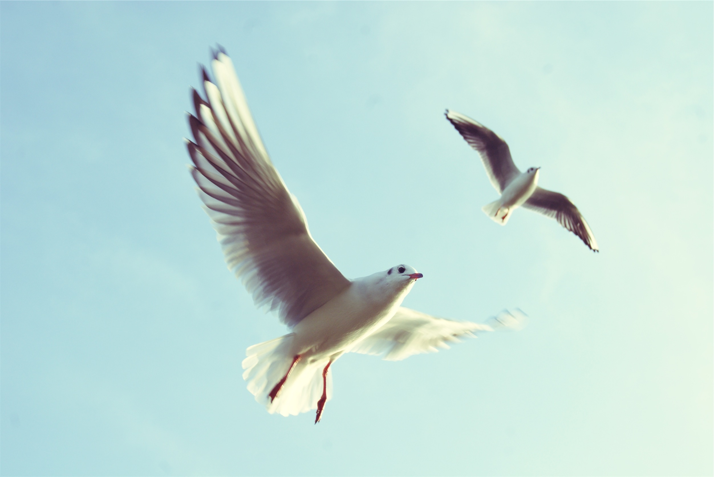Gaviotas, flying bird, flying, feathers, sea