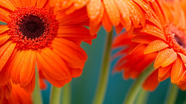 Flowers with water droplets, flowers, oranges, nature, dew, water