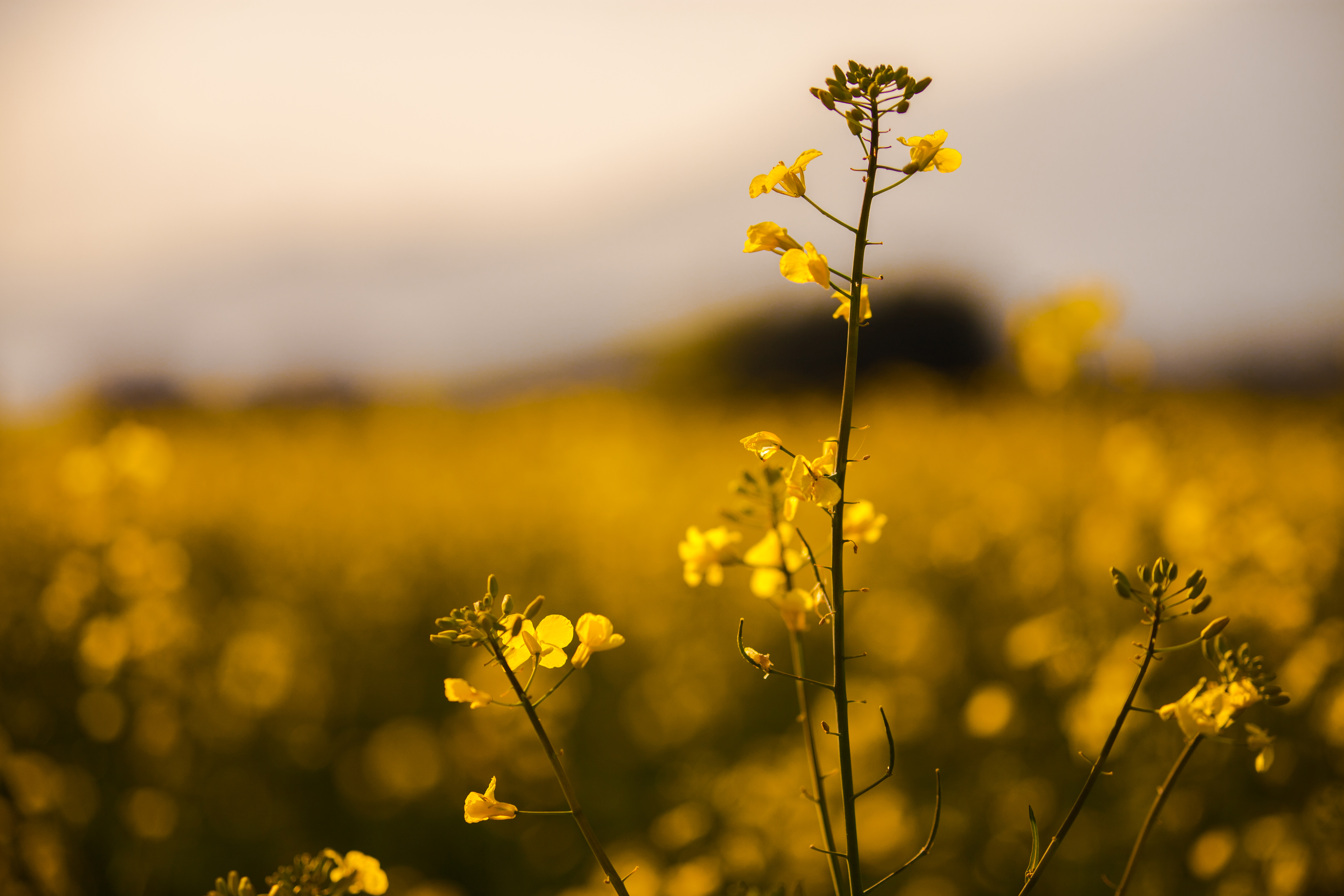 Yellow Flower, flowers, field, nature, vegetation