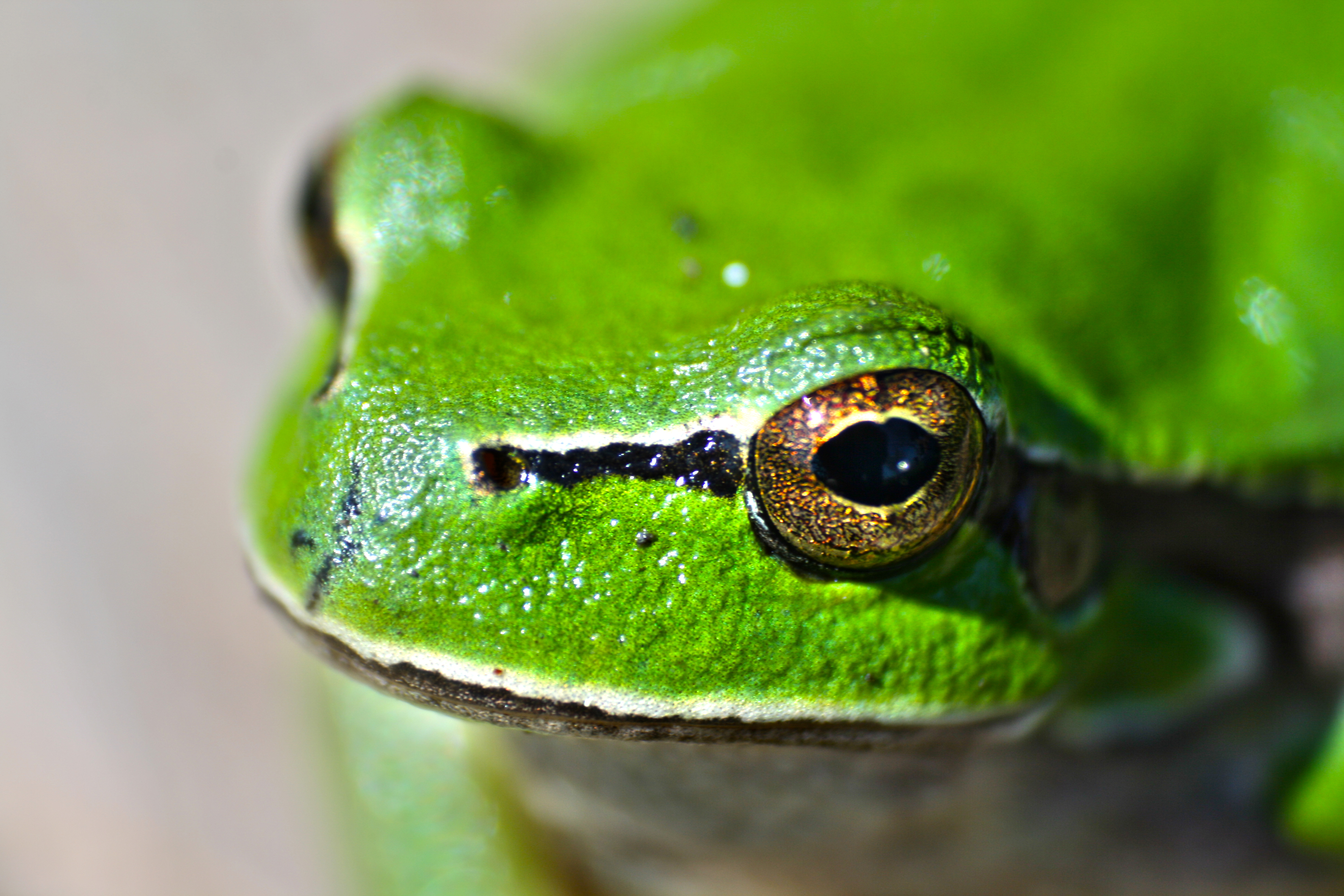 Frog eyes, frog, eyes, green, animals, toad