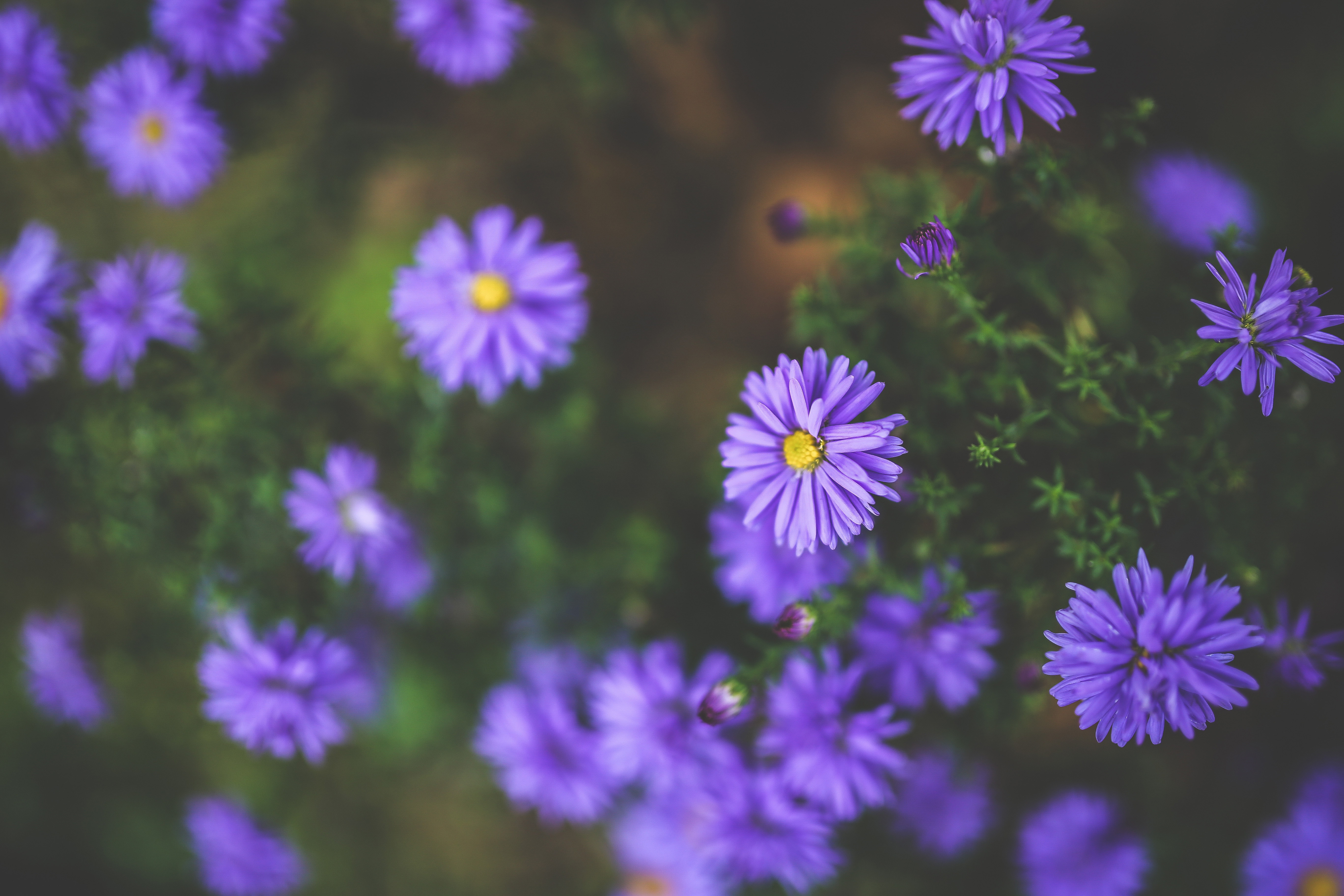 Lilacs, flower, flowers, purple, violet, little, small, lilac petals, violets, daisies
