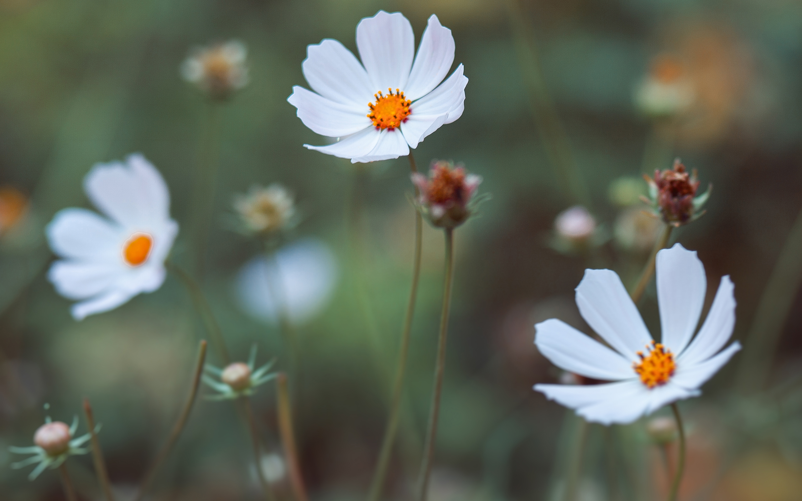 Daisies by enioku, white daisies, field, wild, nature, green