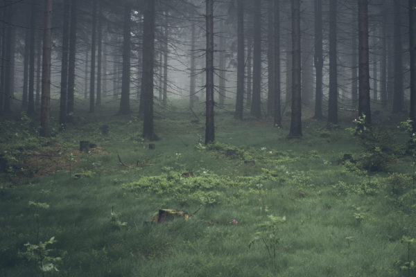 Pine forest, pine, logs, trees, slash, cut, forest, woods, trees, nature, dark, foggy, haze, grass
