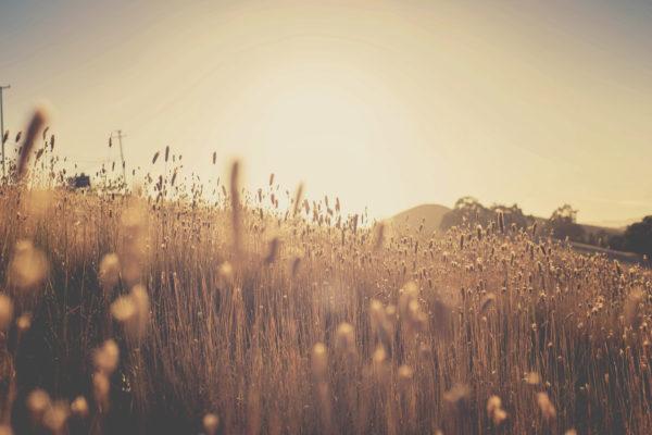 Sunset in the corn field, field, nature, vegetation, sunset, sun, golden, plants, field, sun rays, sunset, nature, sky, landscape