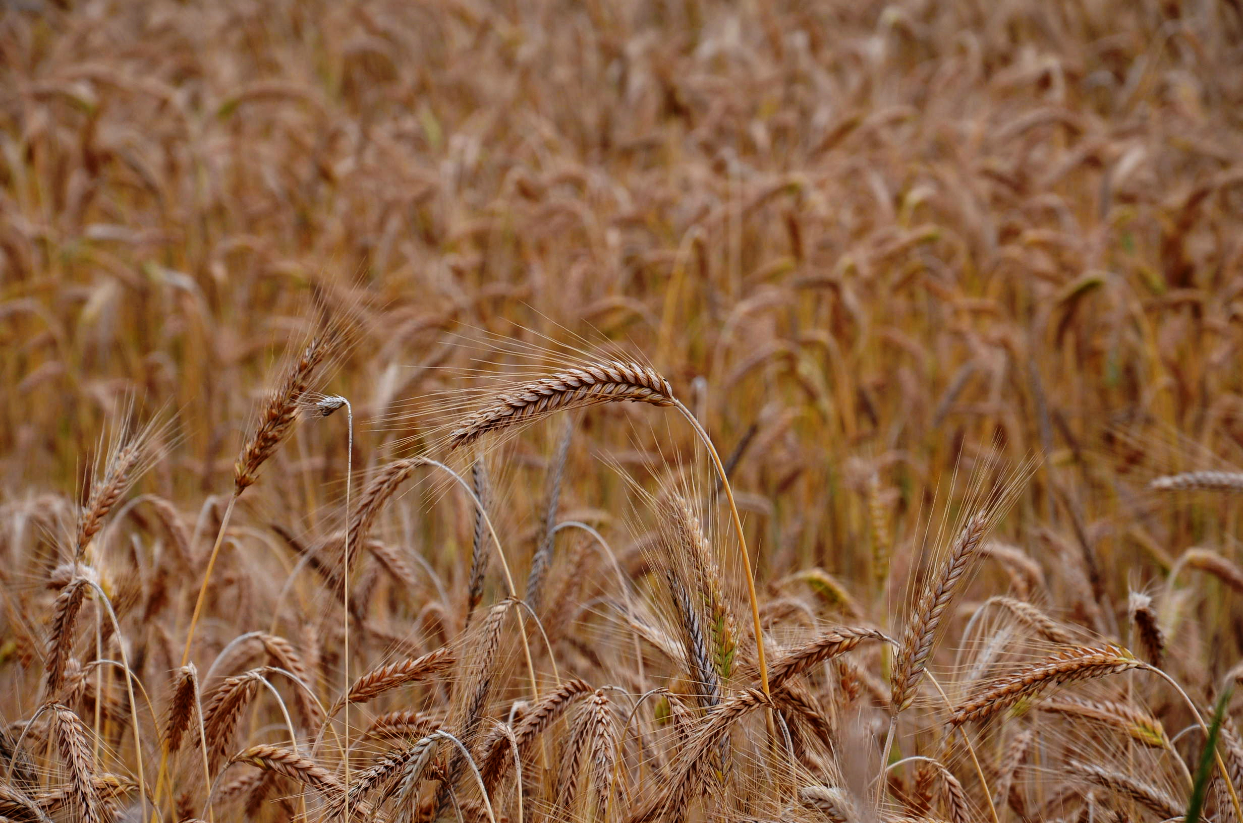 Wheat field, field, wheat, sunset, gold, gold, wheat, grains, crops, agriculture, nature, farm