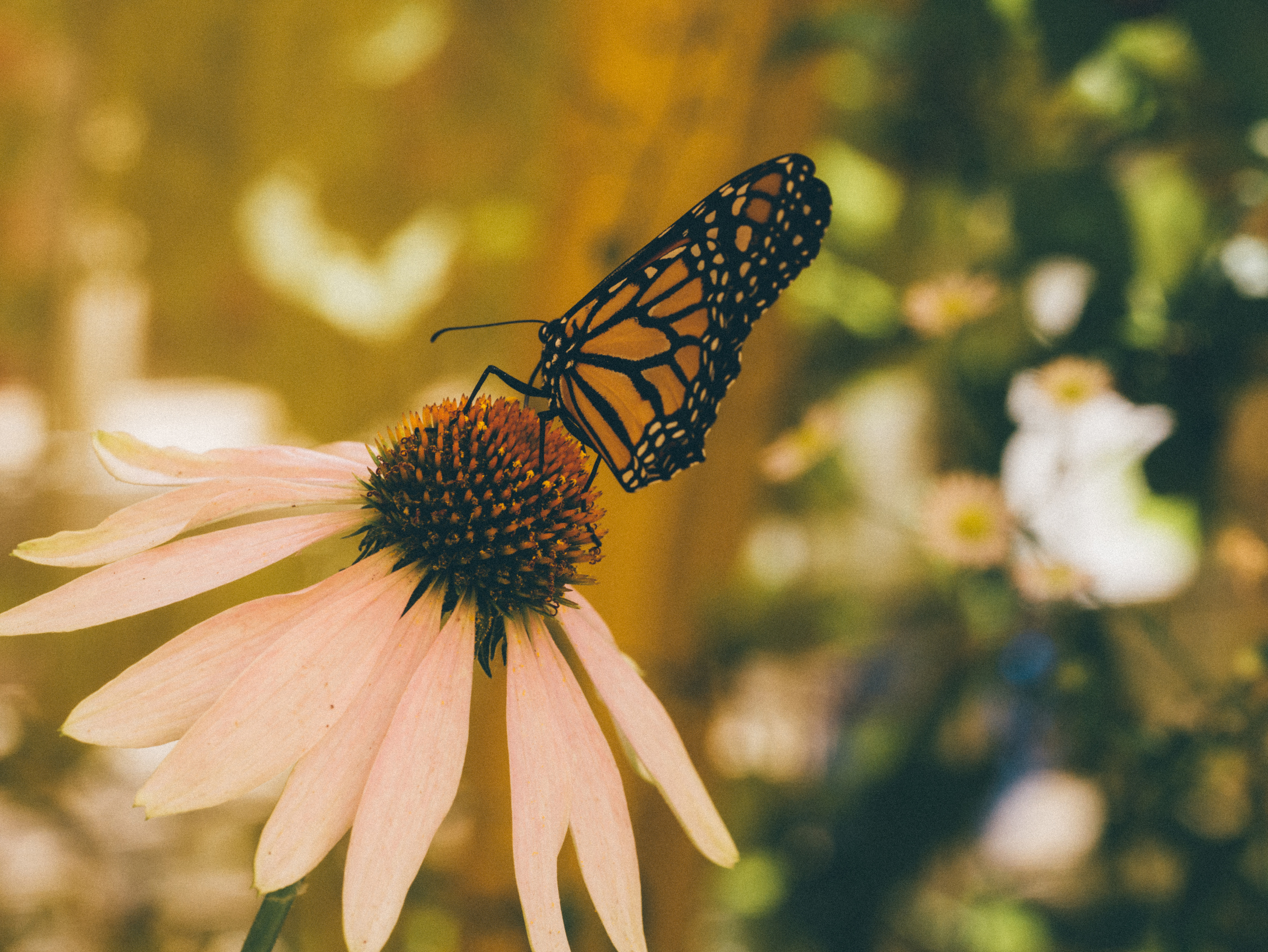 Butterfly on daisy, insect, butterfly, flowers, butterfly, insect, flowers, nature, garden