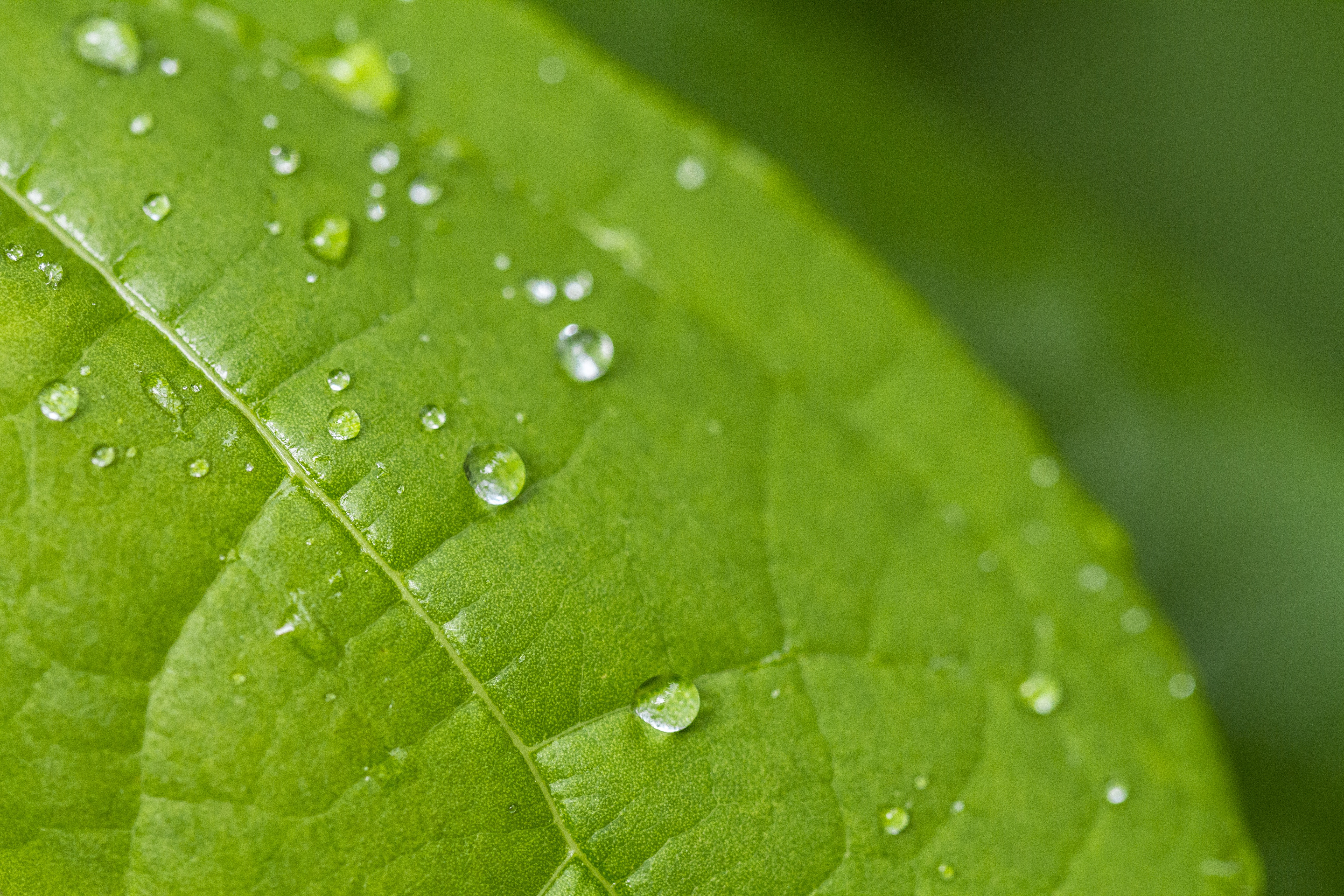 Leaf with dew, raindrops, water, leaf, nature, green, dew, moisture, forest, outside