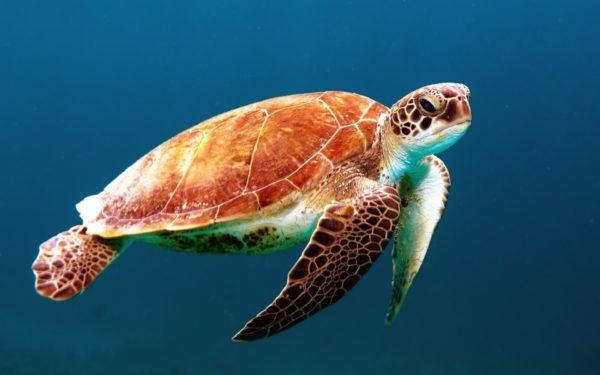 Sea Turtle, animals, turtle, sea, ocean, life, water, shells, depth