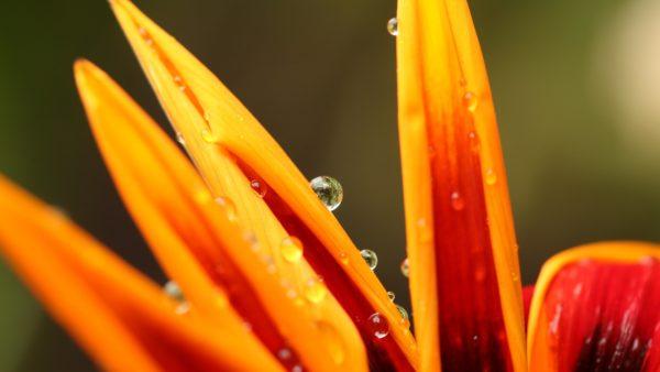 Water Droplets On Petals, flower petals, water drops, dew, nature, orange flower