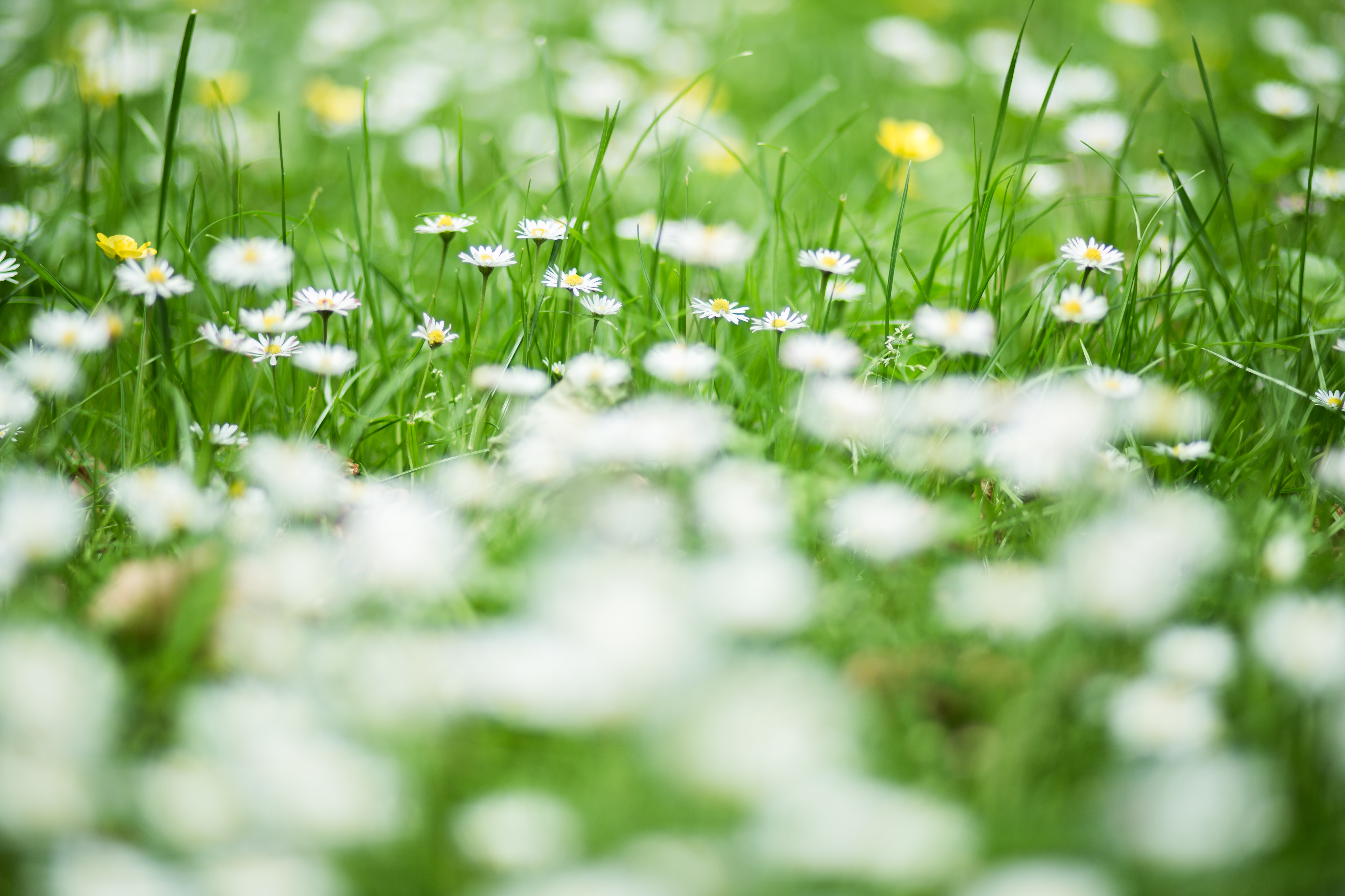 Field of daisies, daisies, flowers, white, green, nature, plants