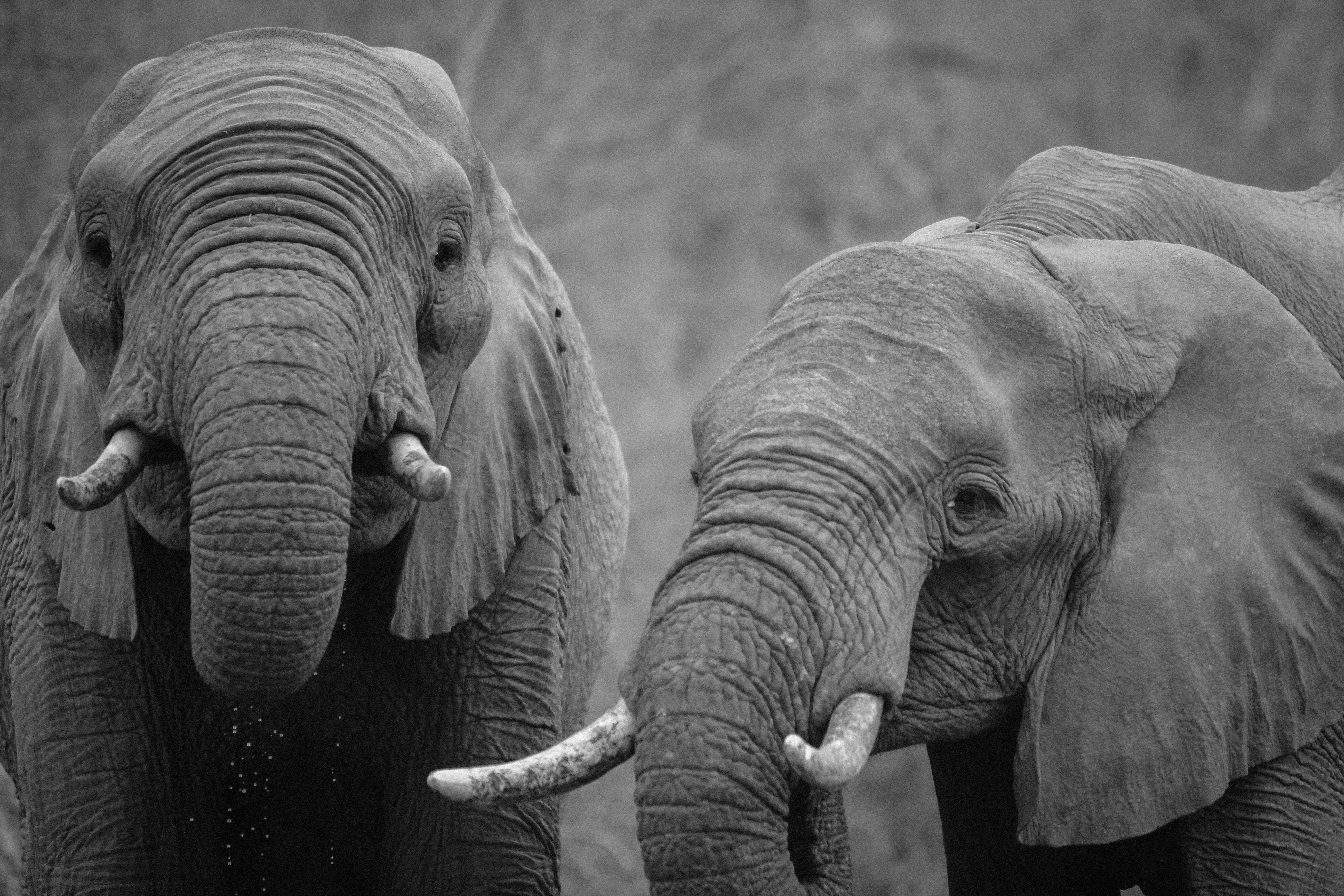 Couple of elephants, elephant, elephant tusks, gray, skin, close-up, animals
