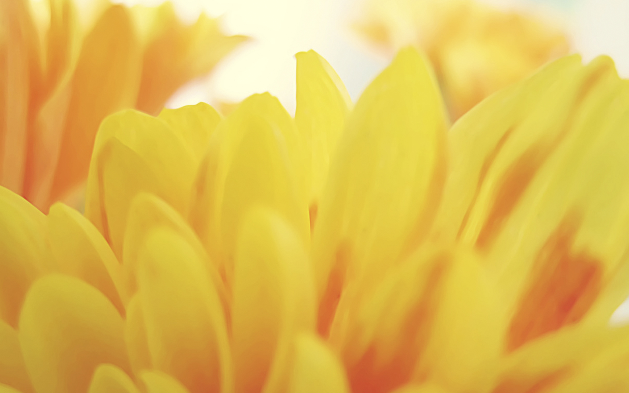 Lina by AidenDrew, daisy petals, yellow petals, flower, yellow flower