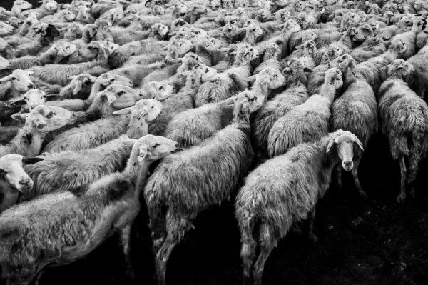 Flock of sheep, black and white, animals, herd, sheep, sheep, flock