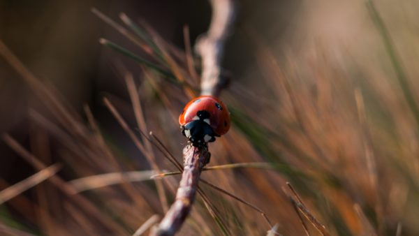 Ladybird, insects, insect, ladybug, photography