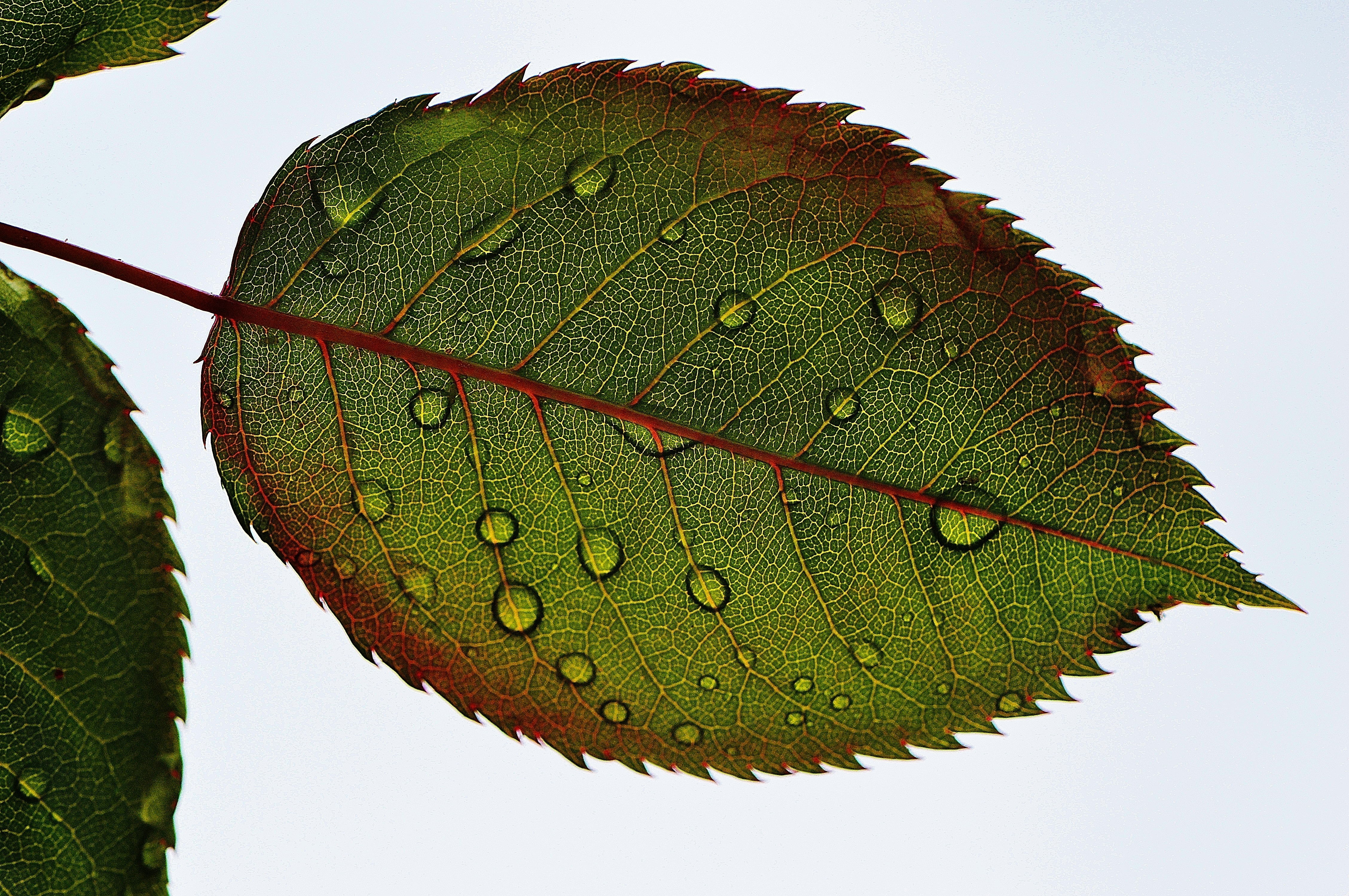 Leaf with dew drops leaves with dew, leaves, dew, nature, water, water drops, life, green, plants