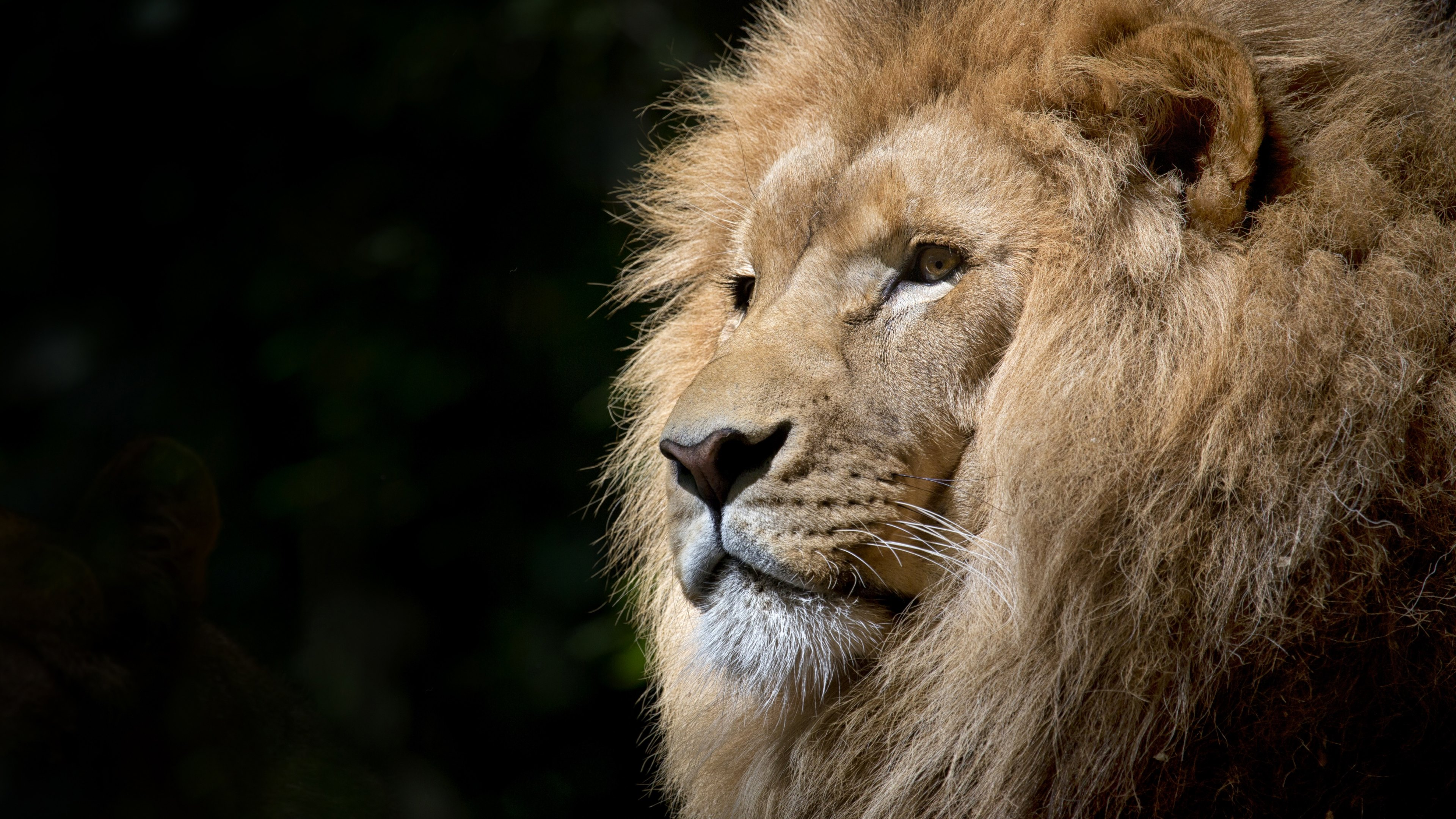 The king, lion, king of the jungle, male lion, male lion, mane, king