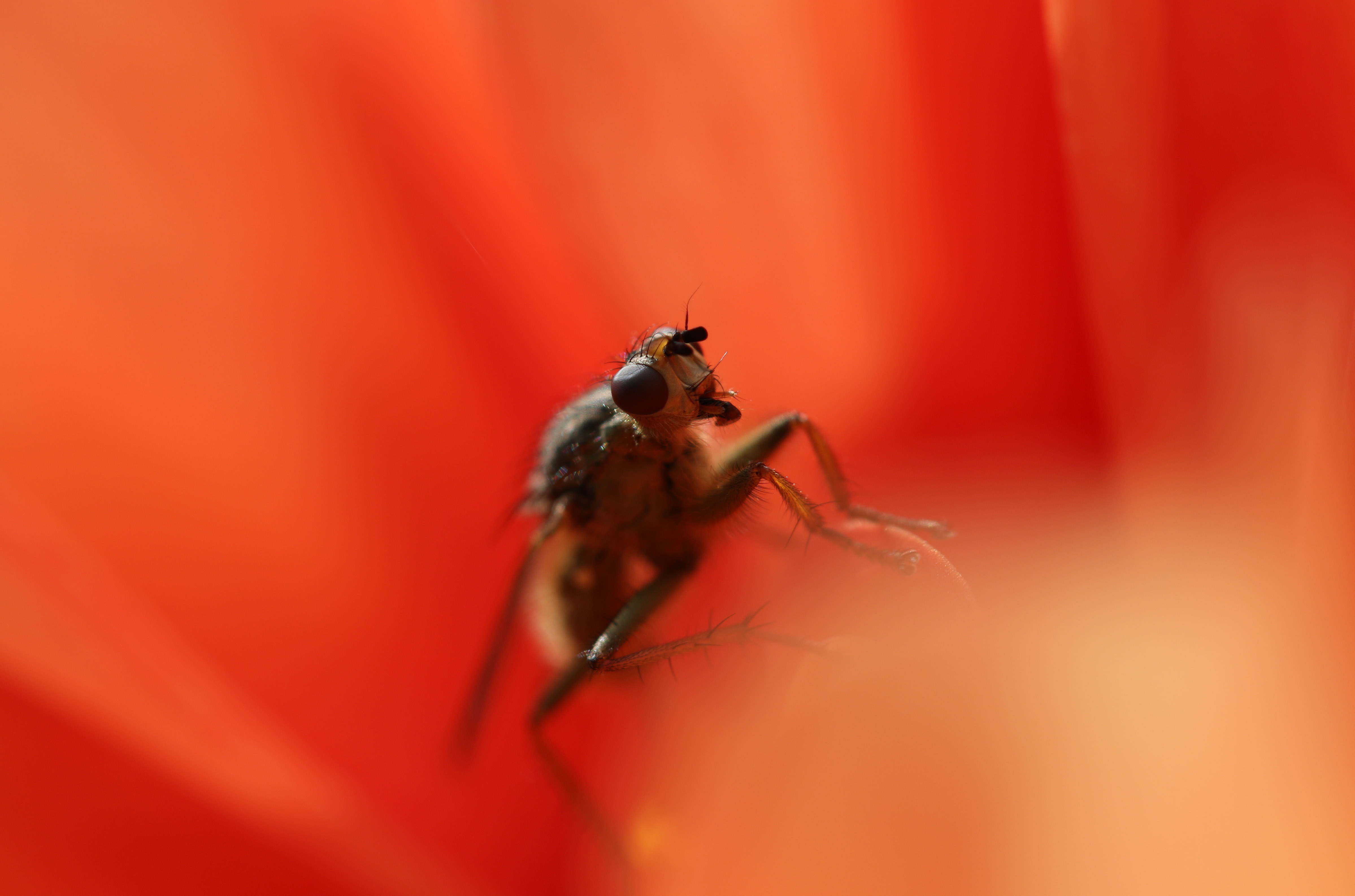 Bee collecting nectar, bee, nectar, flower, flowers, petals, red flower, insect, flying, bee