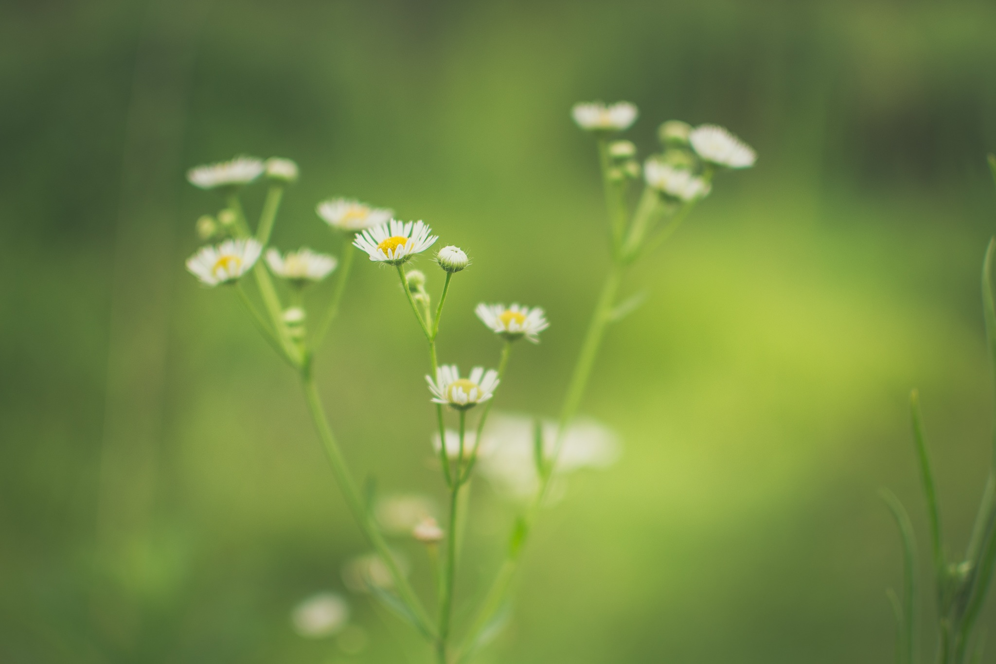 Daisies in spring, plants, nature, greenery, flowers, daisies, white, yellow, flower, spring, summer