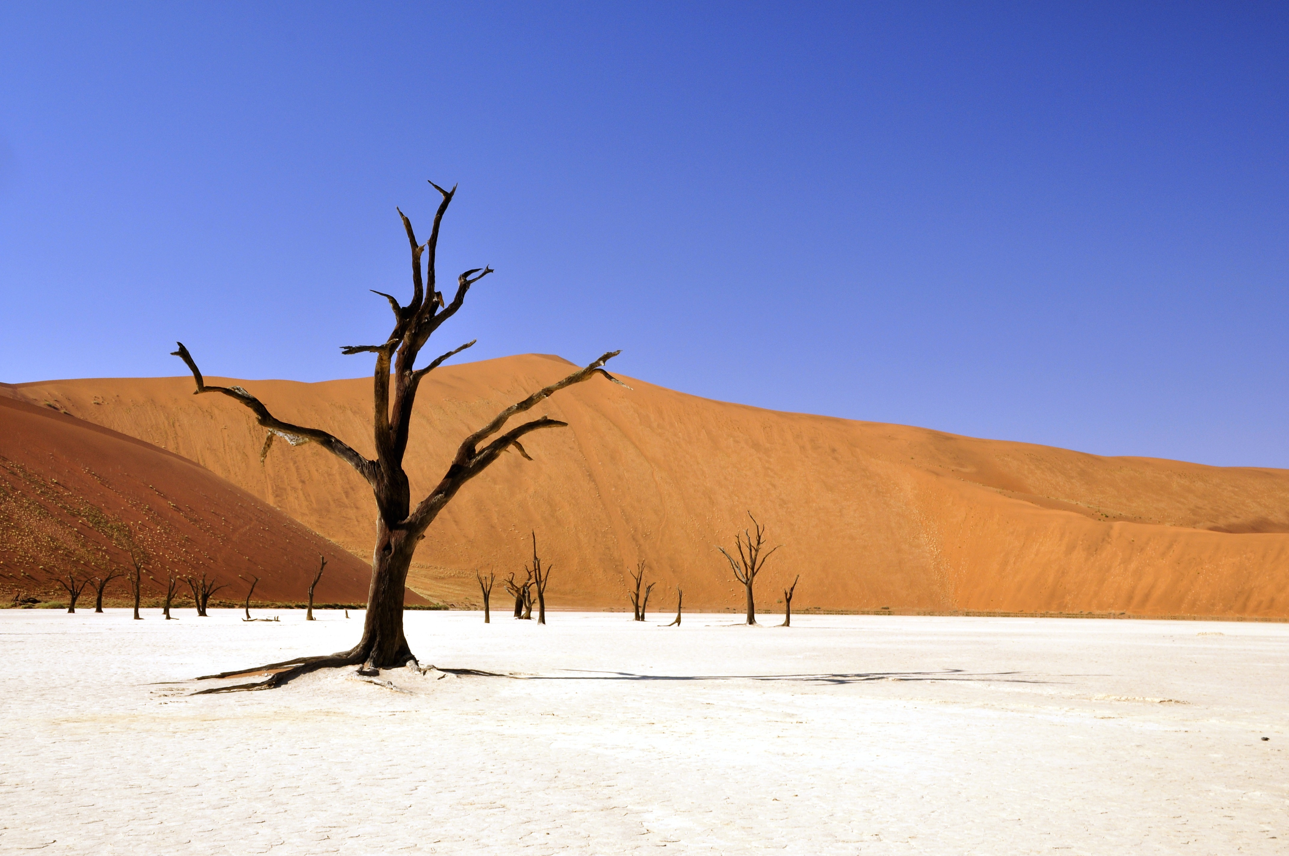 dry tree in the desert, desert, dry, dunes, branches, dead tree, heat, drought, sand