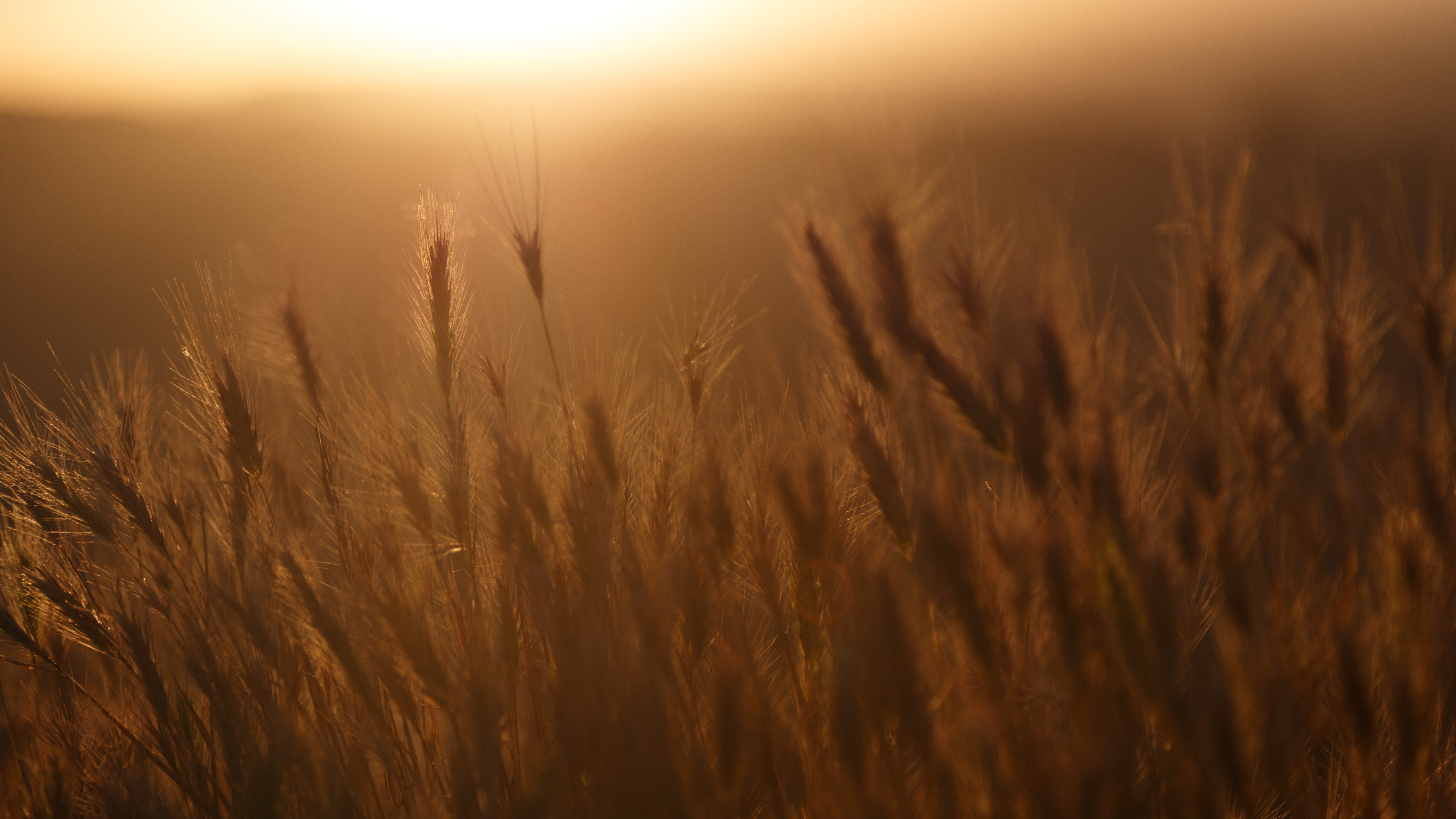 Field gilded by the sun, sun, sunlight, corn, evening, sunset, libertard, outside, nature