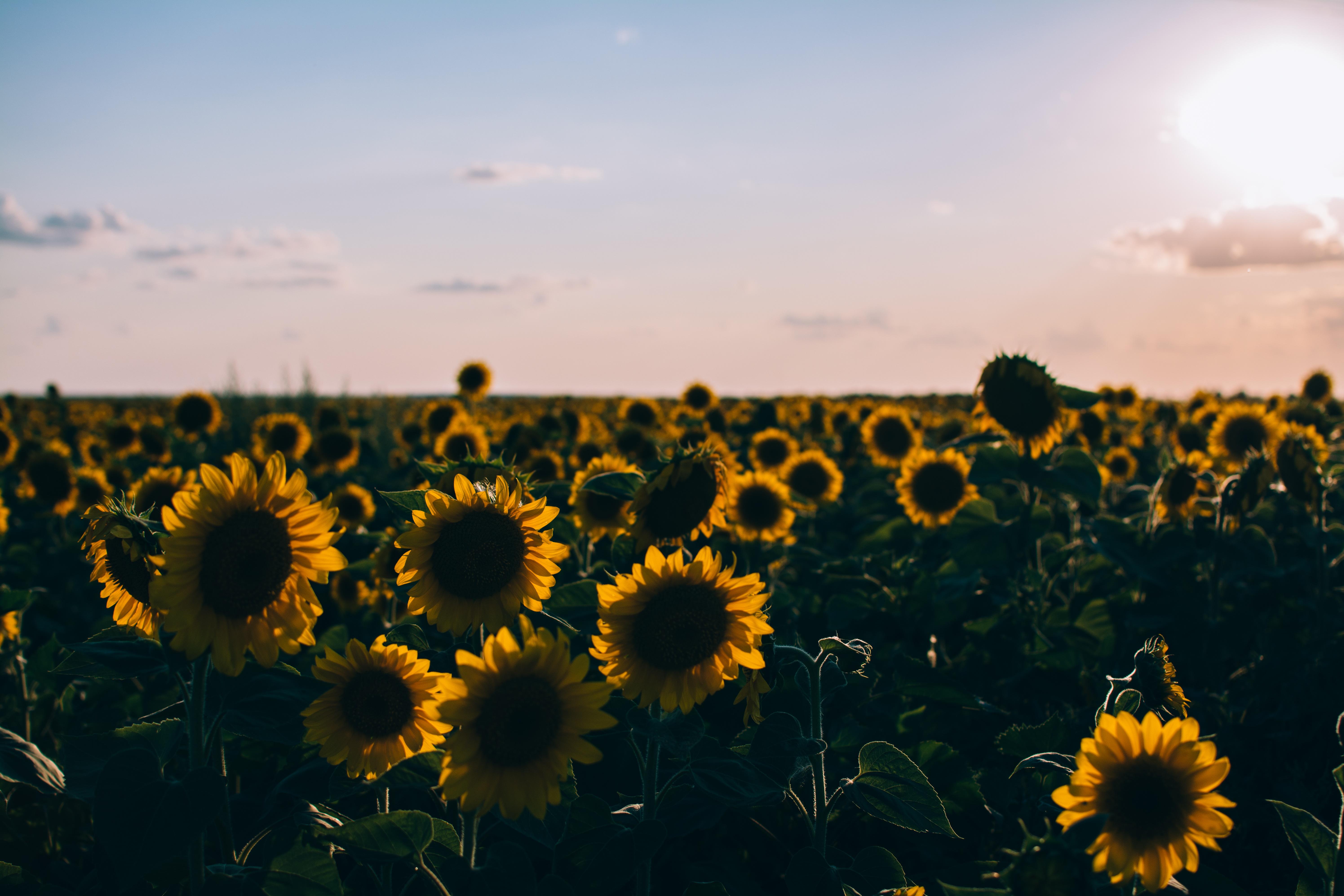 Field of sunflowers, sunflower, field, flower, yellow