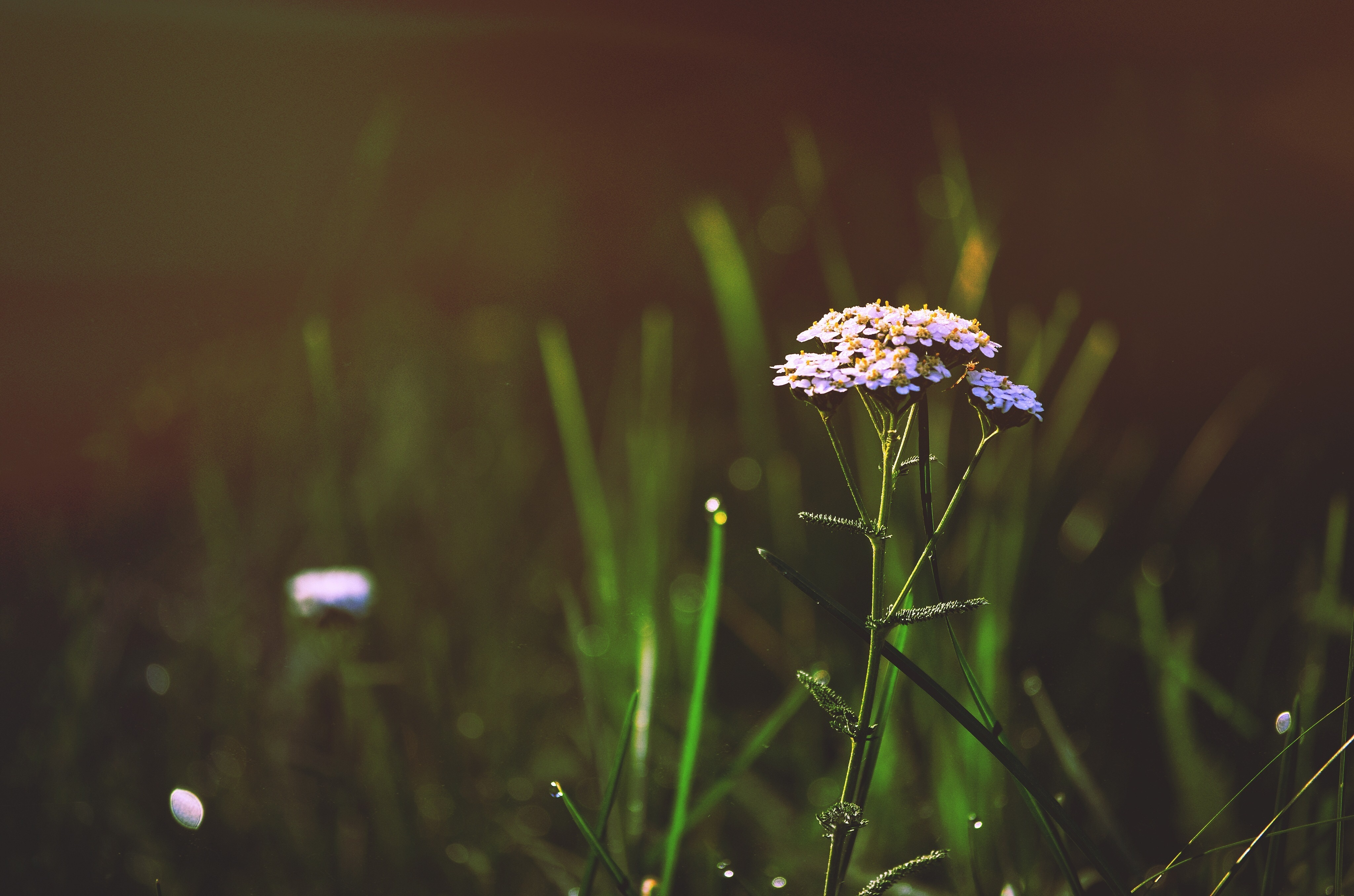 Flowers in the morning dew, morning dew, flowers, bouquet, country, dawn