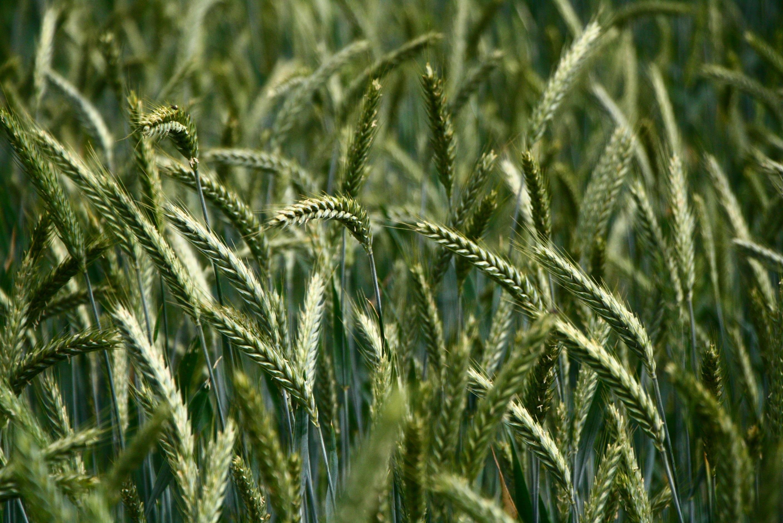 Green wheat field, seeds, wheat, field, green