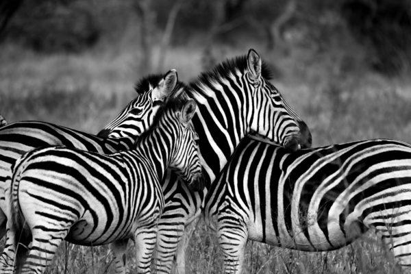 Group of zebras, zebras, black and white, stripes, animal, zebra