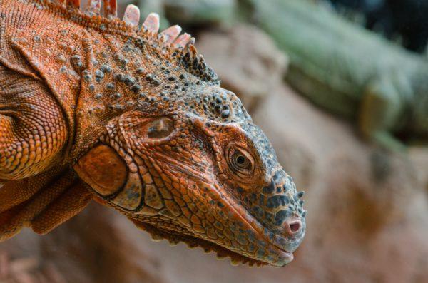 Iguana, lizard, scales, eyes, eyes, skin